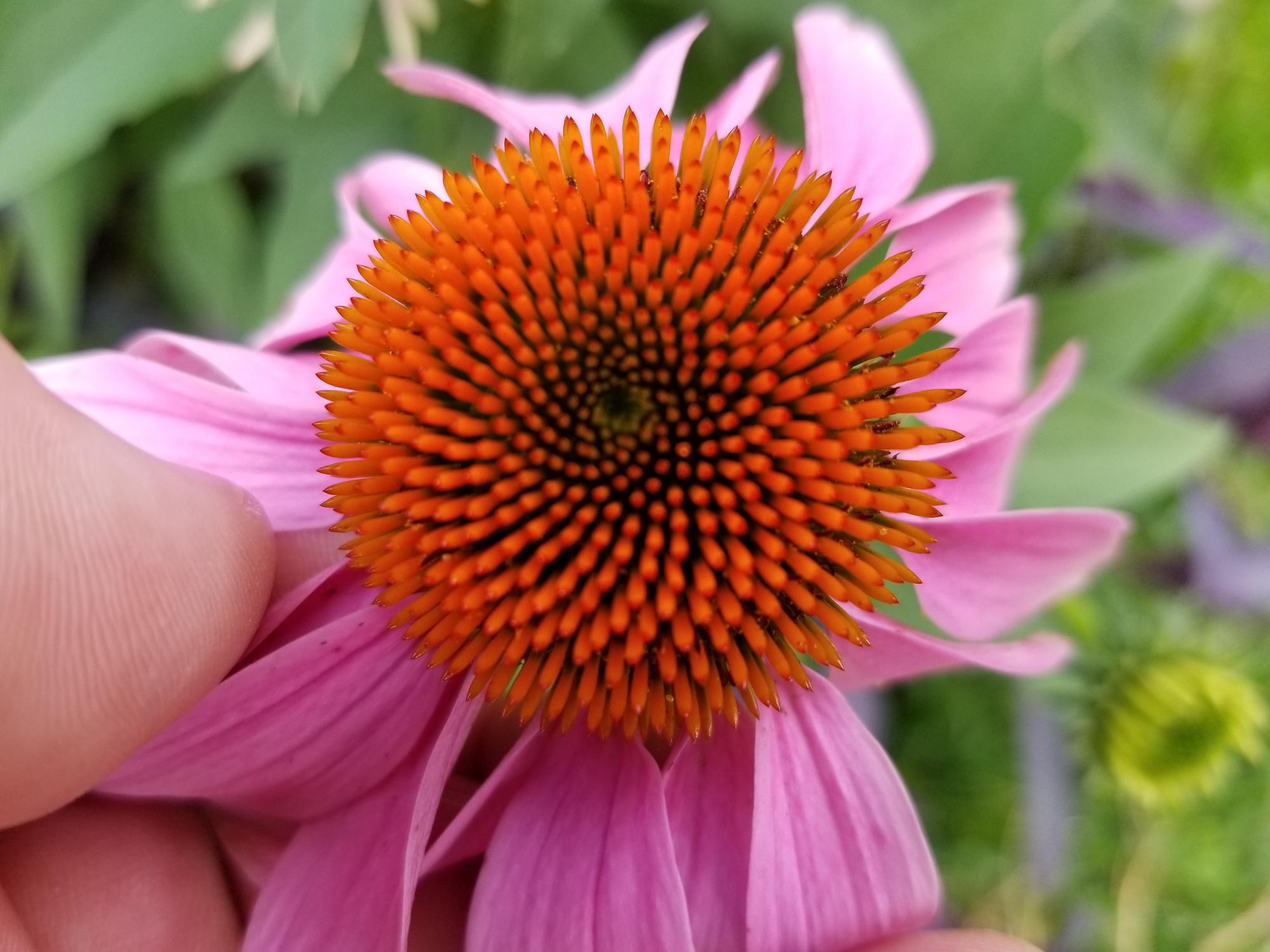 A thumb and fingers hold back the pink petals of a flower to reveal the spiny, orange center.
