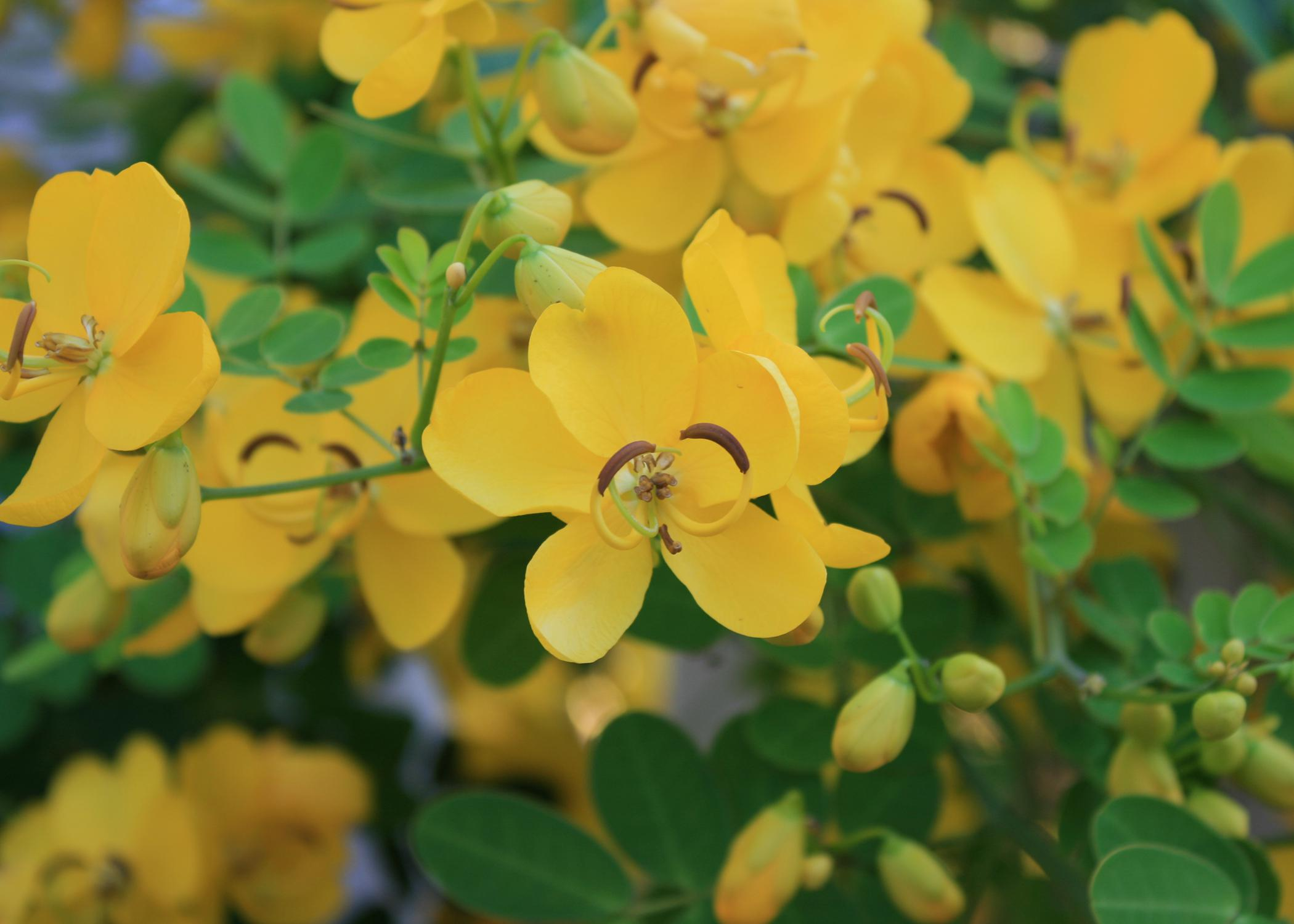 A single, delicate yellow bloom is centered in a frame filled with other yellow blooms and green foliage.