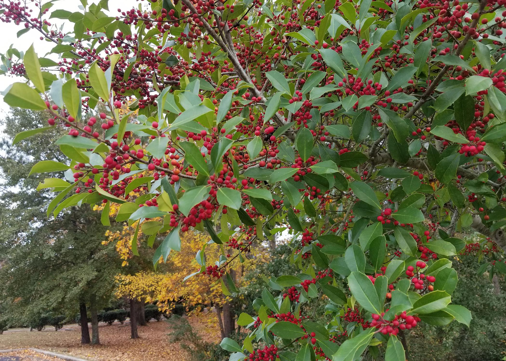 A branch with green leaves and dozens of clusters of red berries is in the foreground of an outdoor parking area.