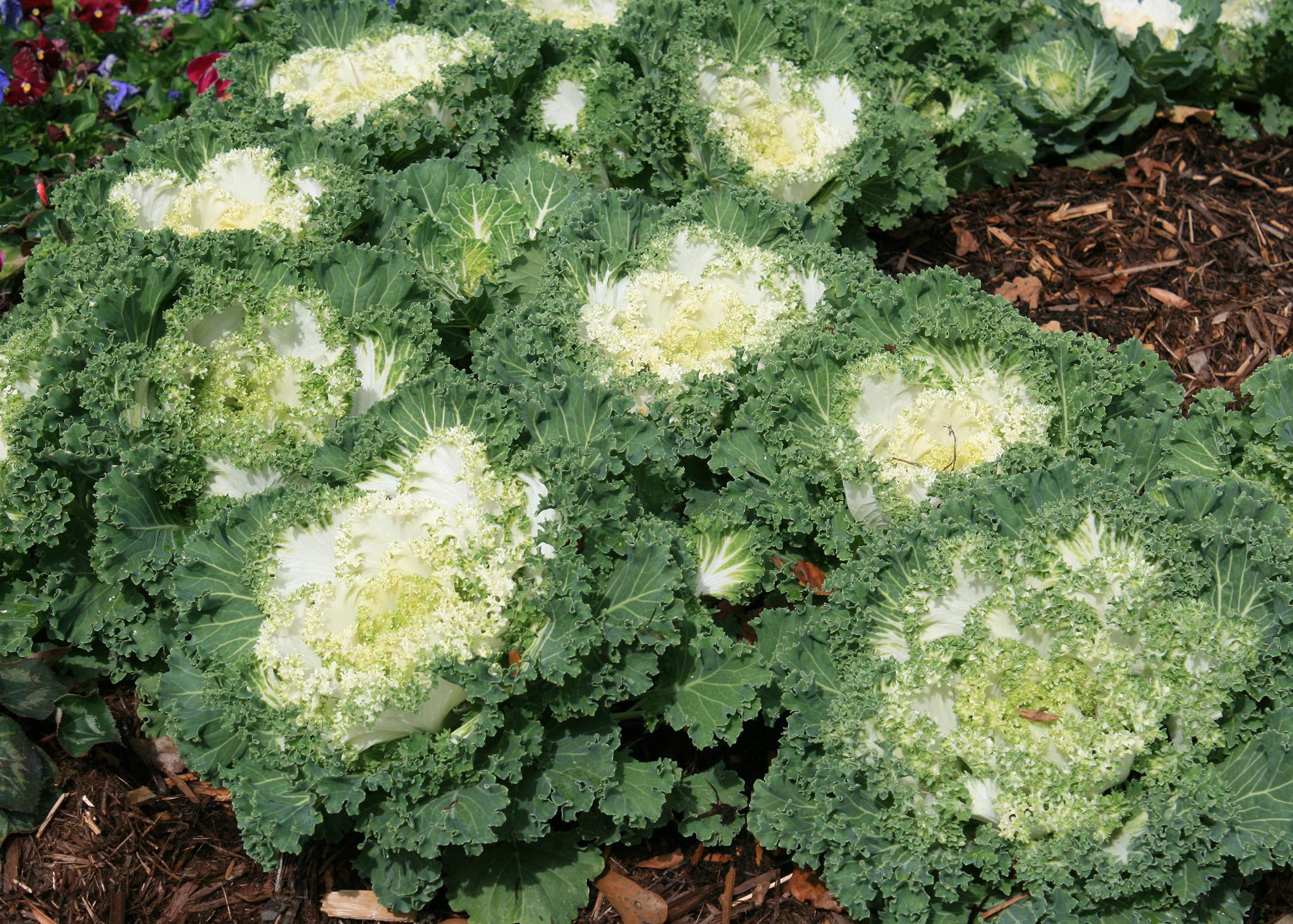 A cluster of green kale plants with white centers.
