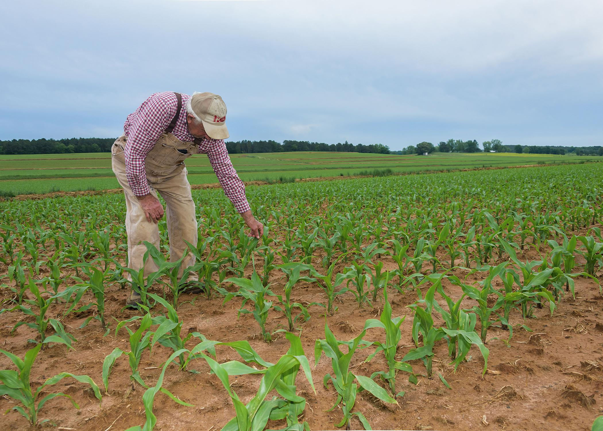 A man wearing overalls and a baseball cap reaches down to touch a small corn stalk in a field of corn.