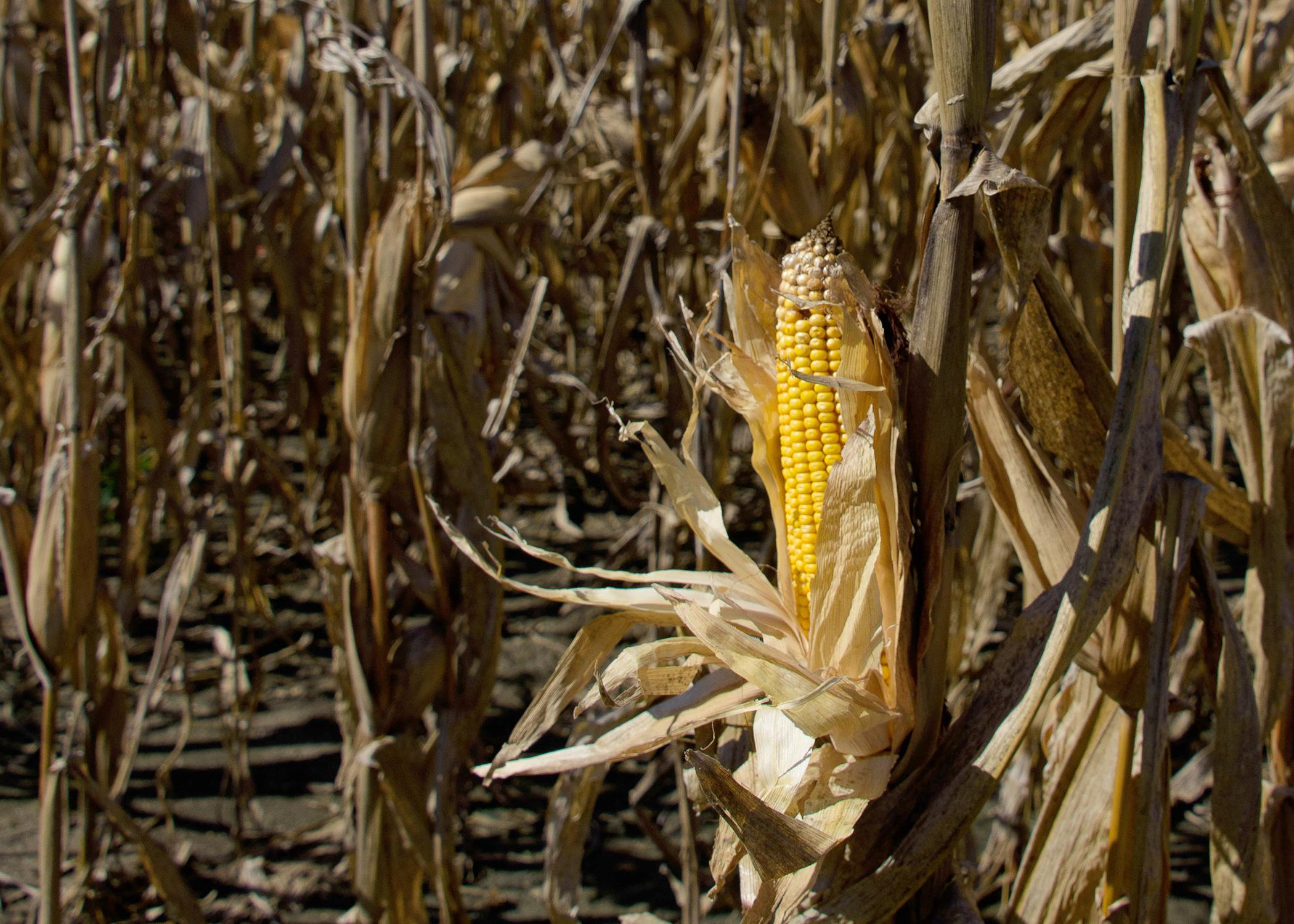 An ear of corn in front of a backdrop of stalks.