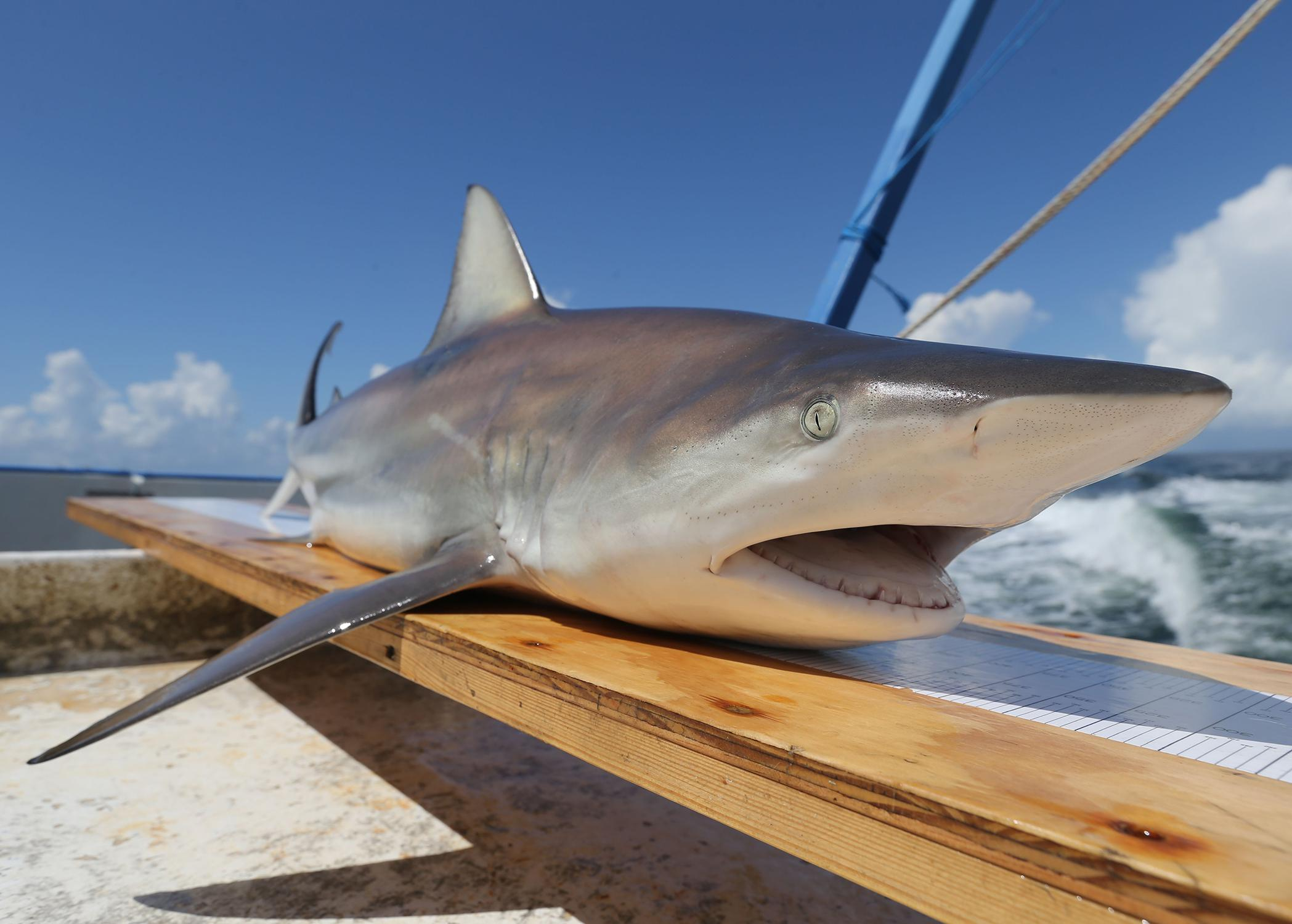 A gray shark with a white undercarriage and face sits atop a board on a boat.