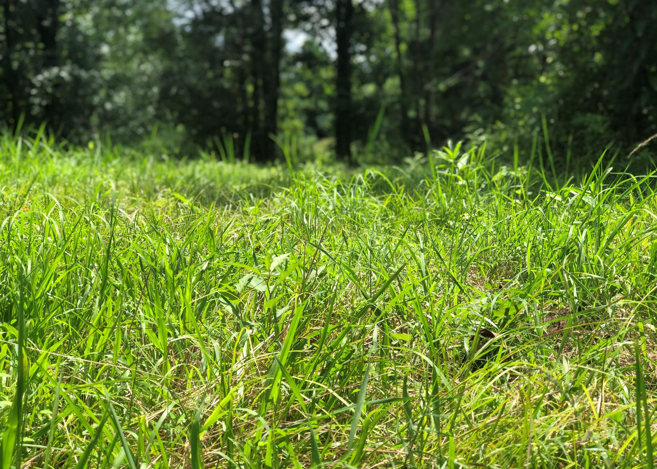 A close-up of tall grass with trees in the background.