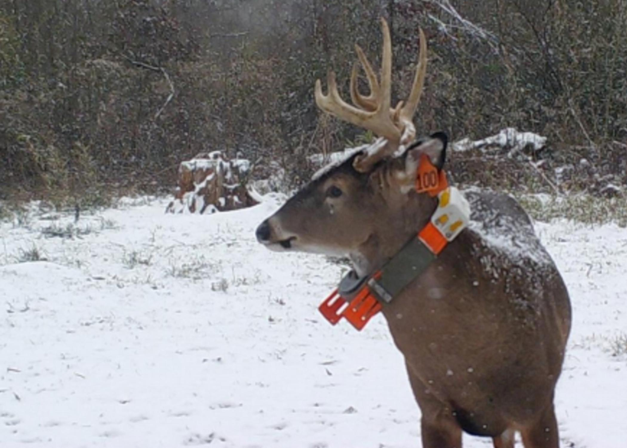 A deer with antlers standing in the snow.