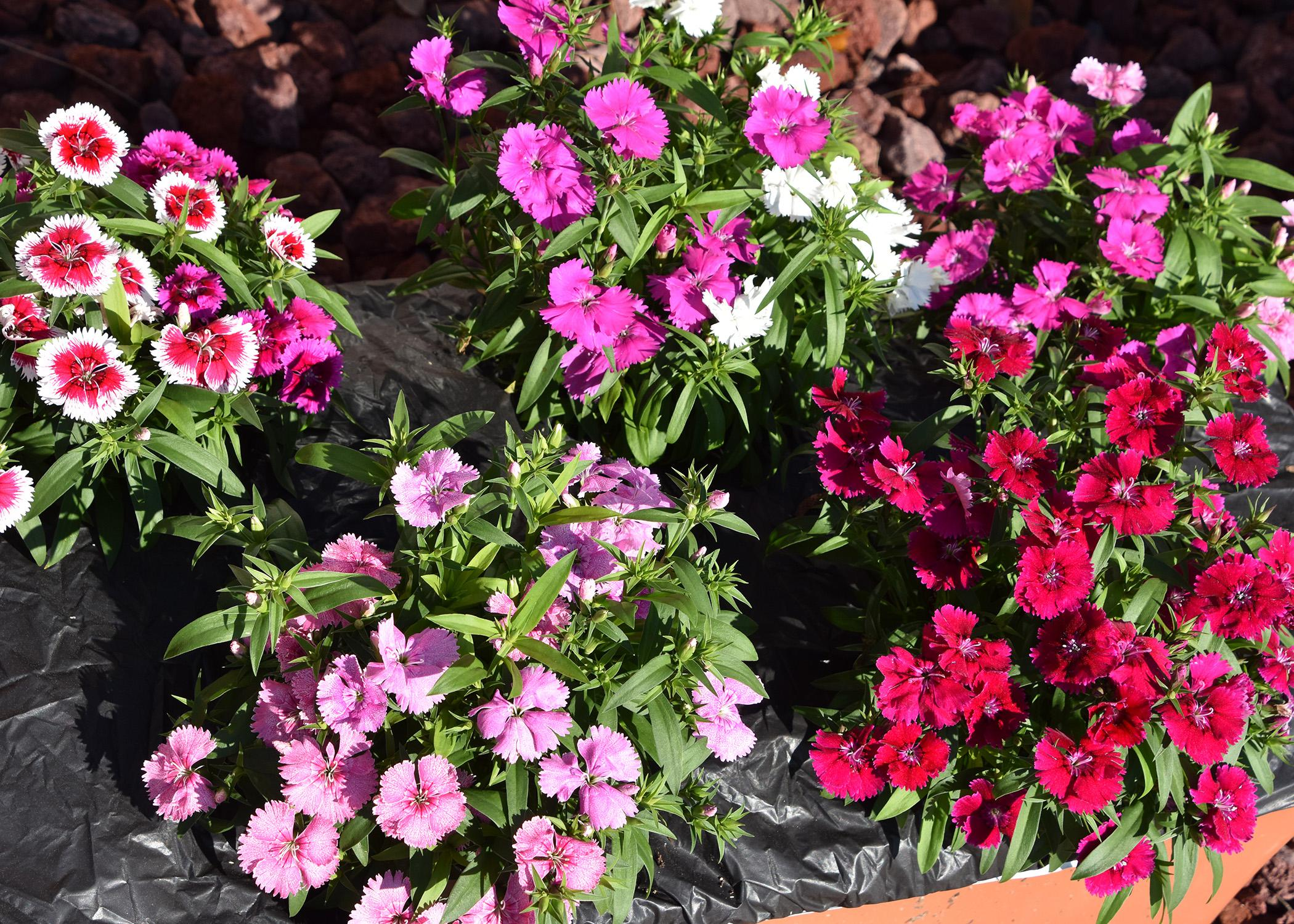 Different varieties of pink and white dianthus flowers.