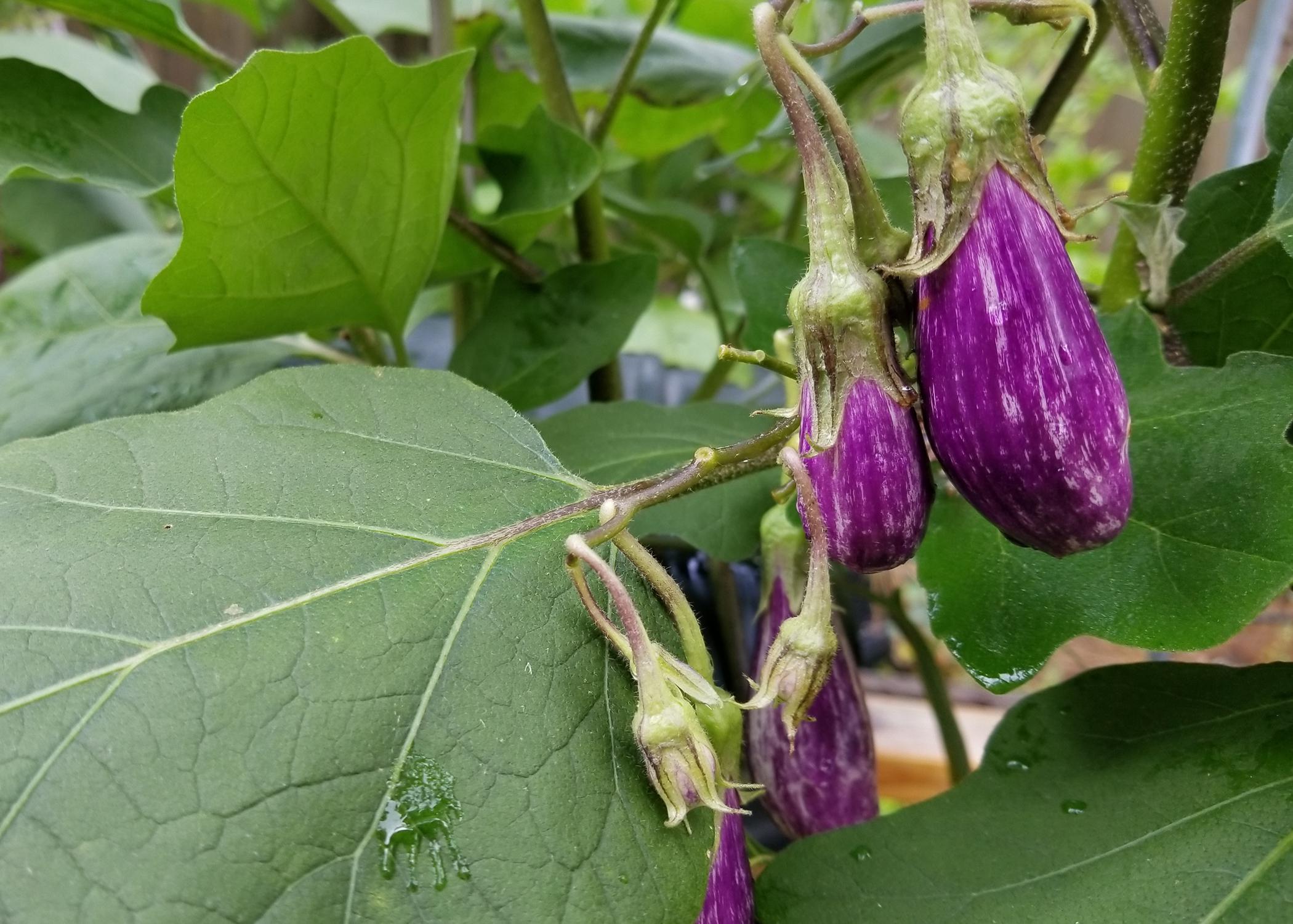 Tiny, purple eggplants grow on a vine.