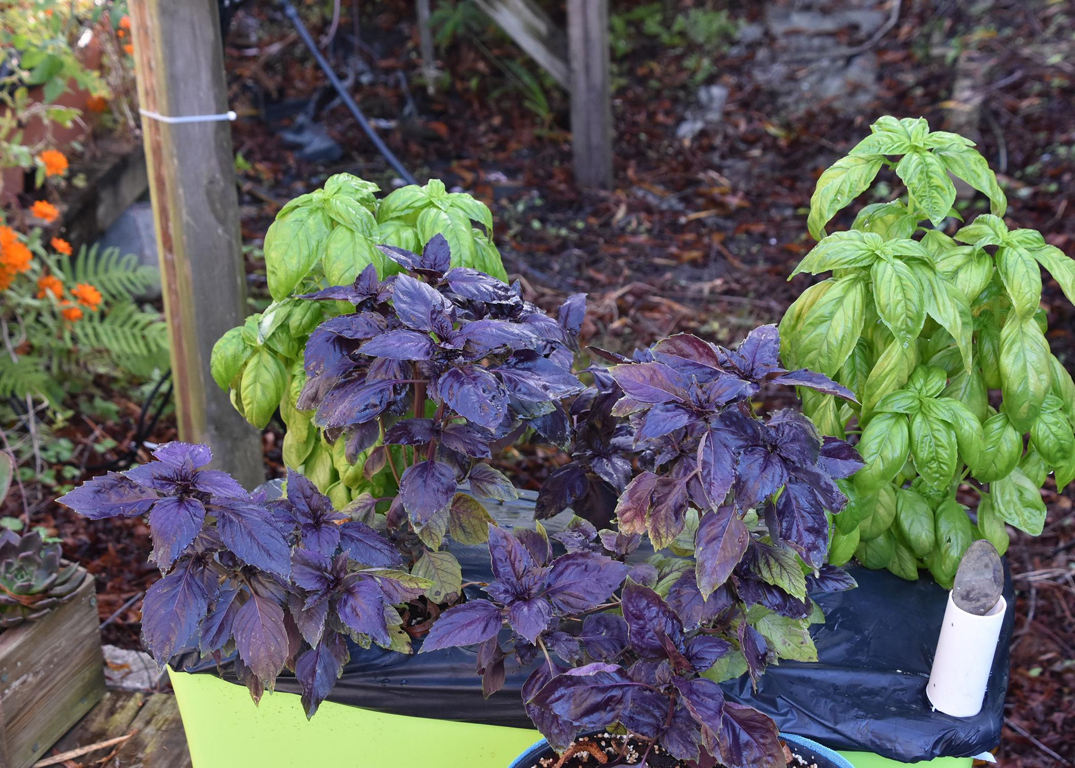 Purple and green plants grow from a rectangular, green container on the ground.