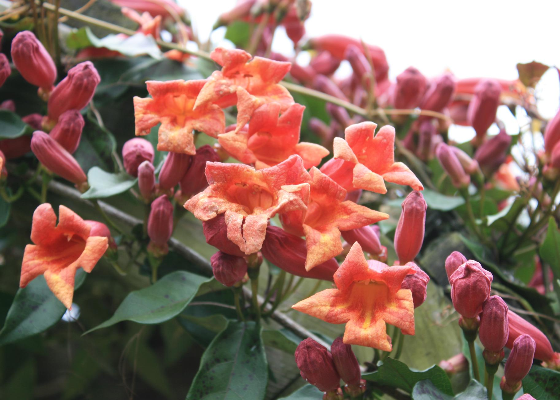 Trumpet-shaped orange flowers bloom on vines next to pink buds.