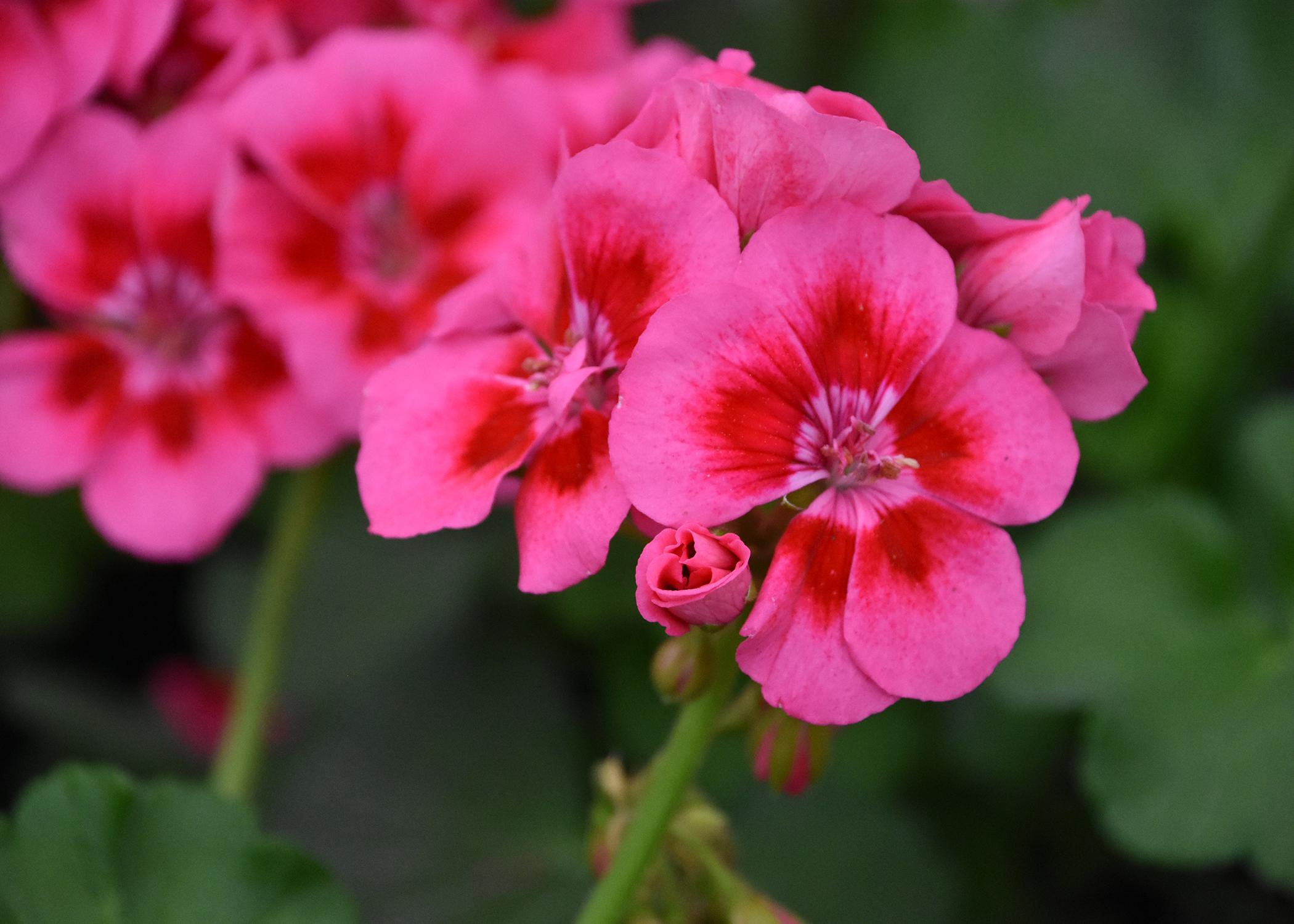 A cluster of pink flowers has dark-red centers.