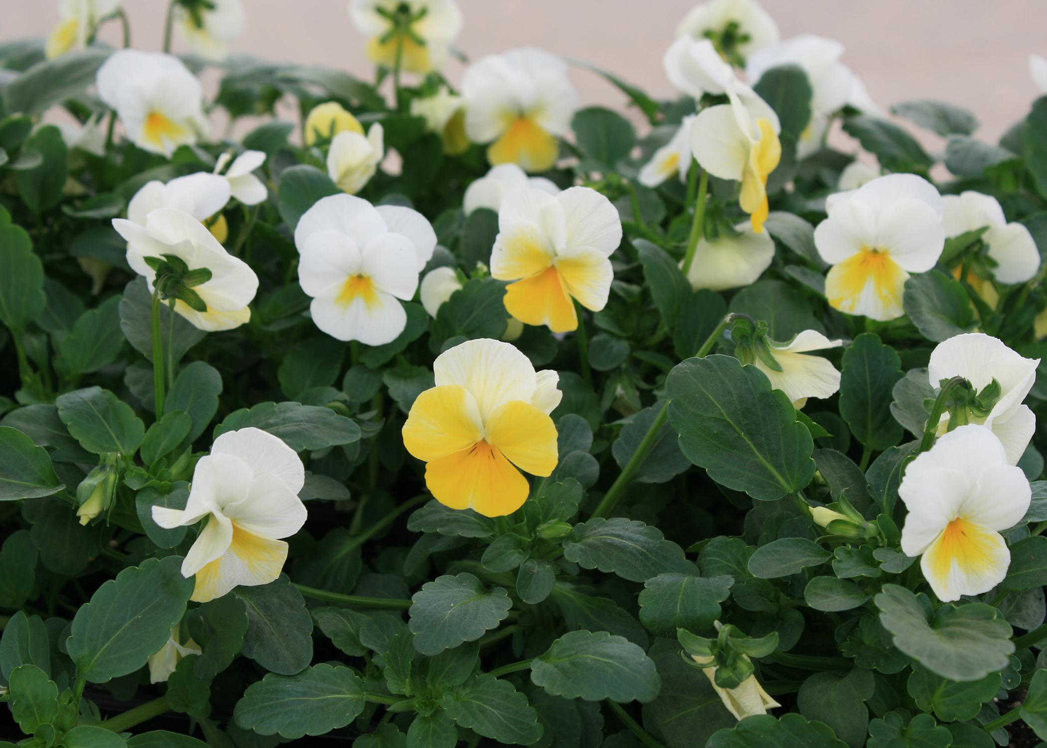 Flowers with white and yellow petals bloom above lush, green leaves.