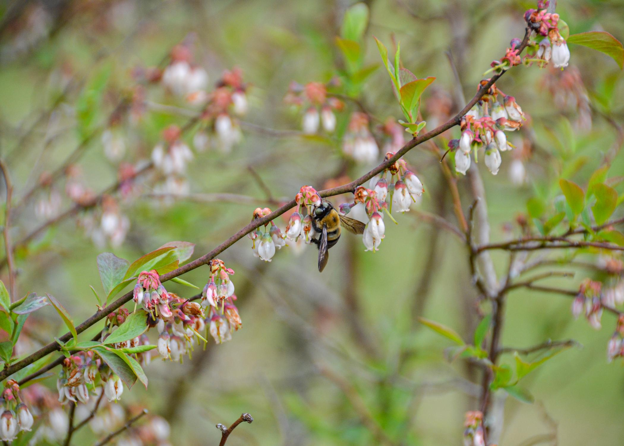 A bee gathers pollen form a blueberry bloom.