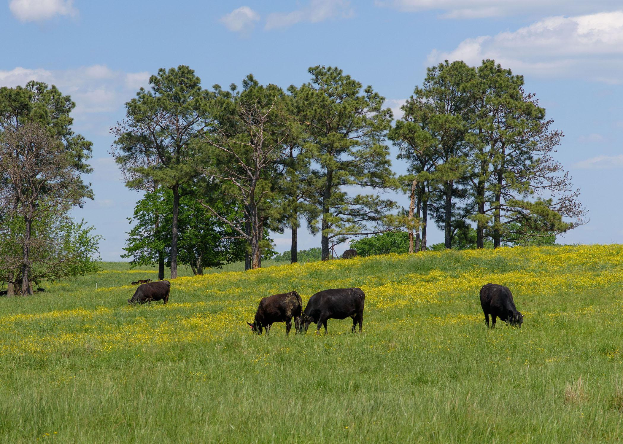 A field with four black cows.