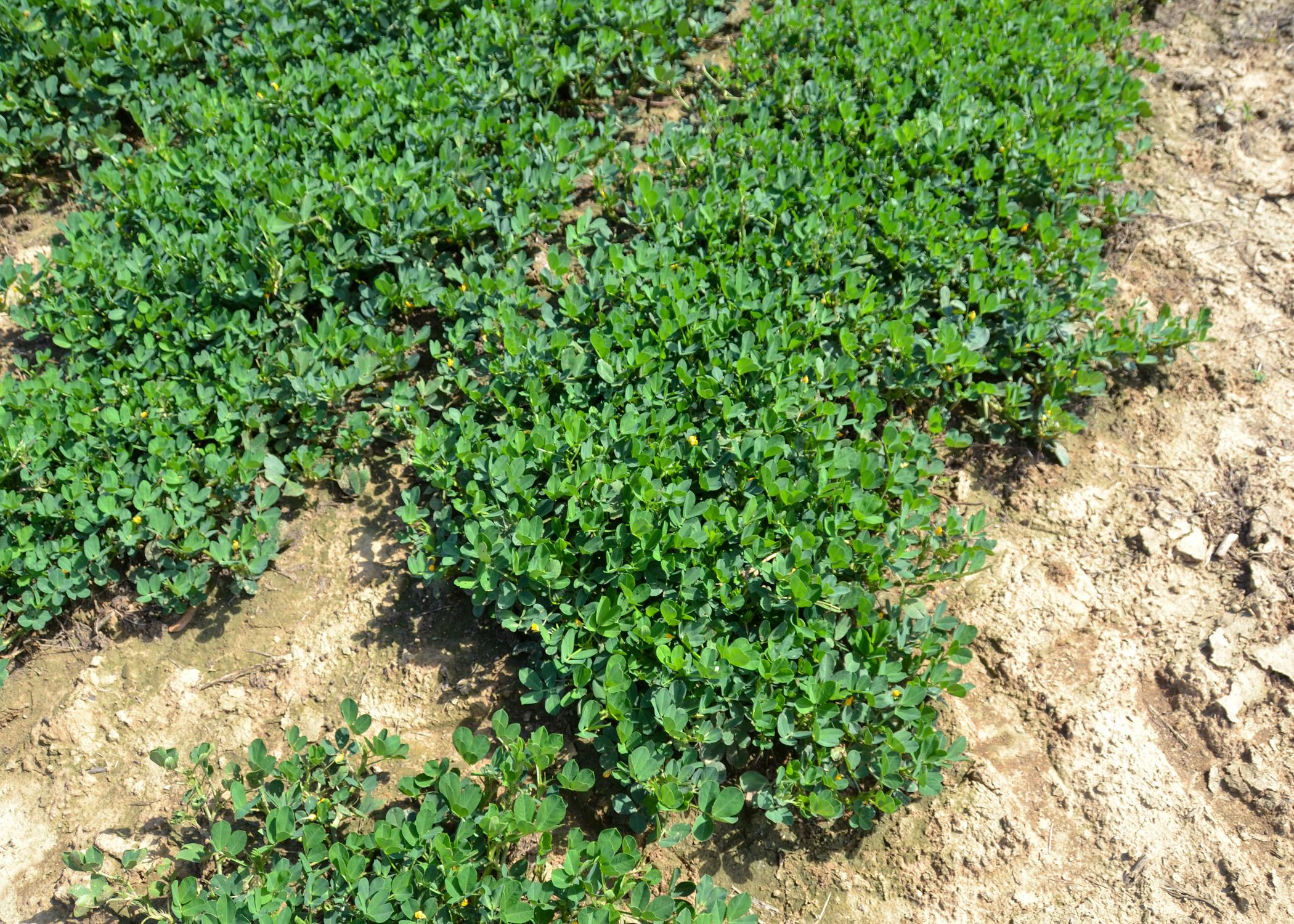Peanut vines grow in a field.