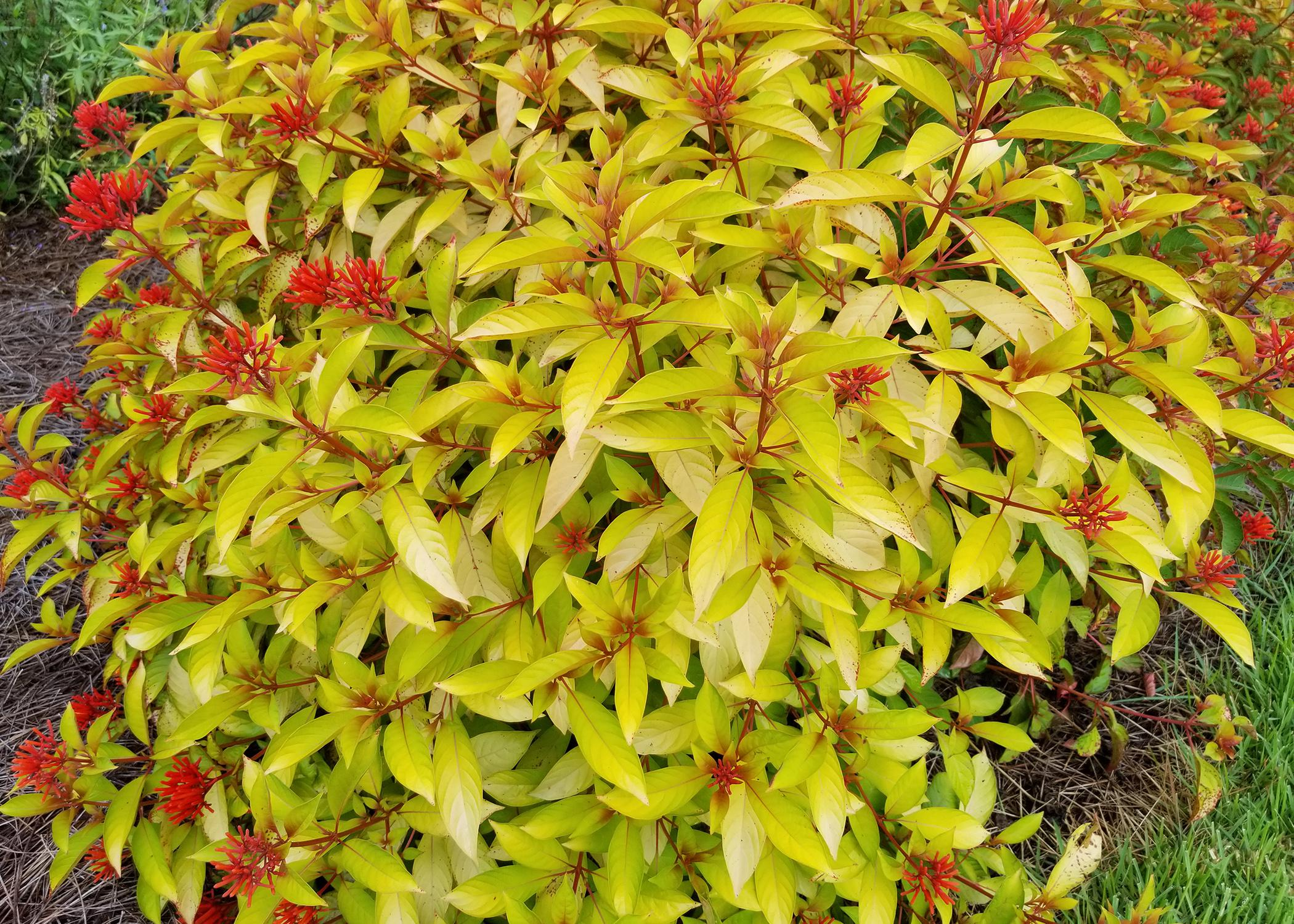 A bright-yellow bush has red flowers stalks.