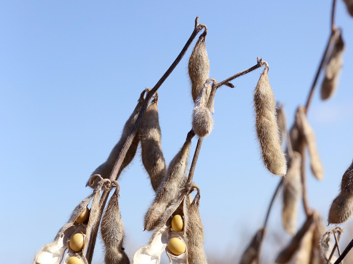 Harvest of the state's soybean crop was about two-thirds complete by the first of October. These soybeans were drying out Sept. 19, 2015 at the Mississippi State University R.R. Foil Plant Science Research Center. (Photo by MSU Ag Communications/Kat Lawrence)