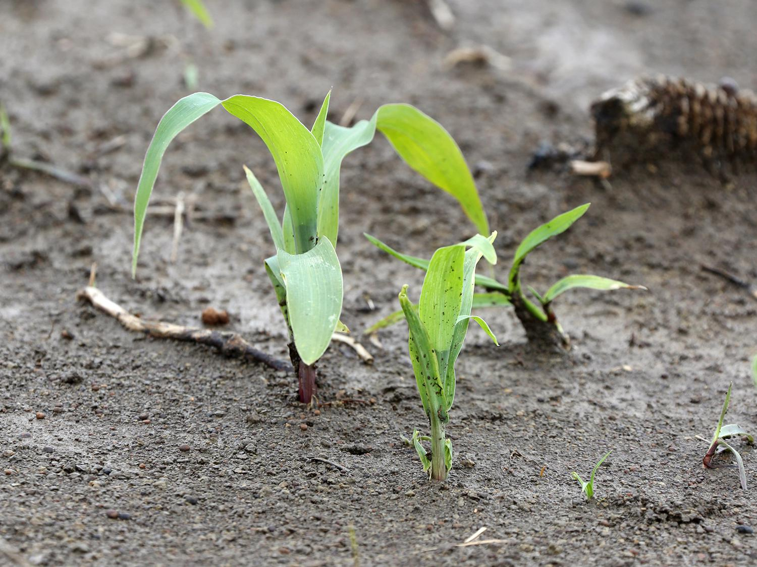 Frost, cool nights and heavy rain are challenging newly emerged corn, such as this Noxubee County, Mississippi, corn photographed April 12, 2016. (Photo by MSU Extension Service/Kat Lawrence)