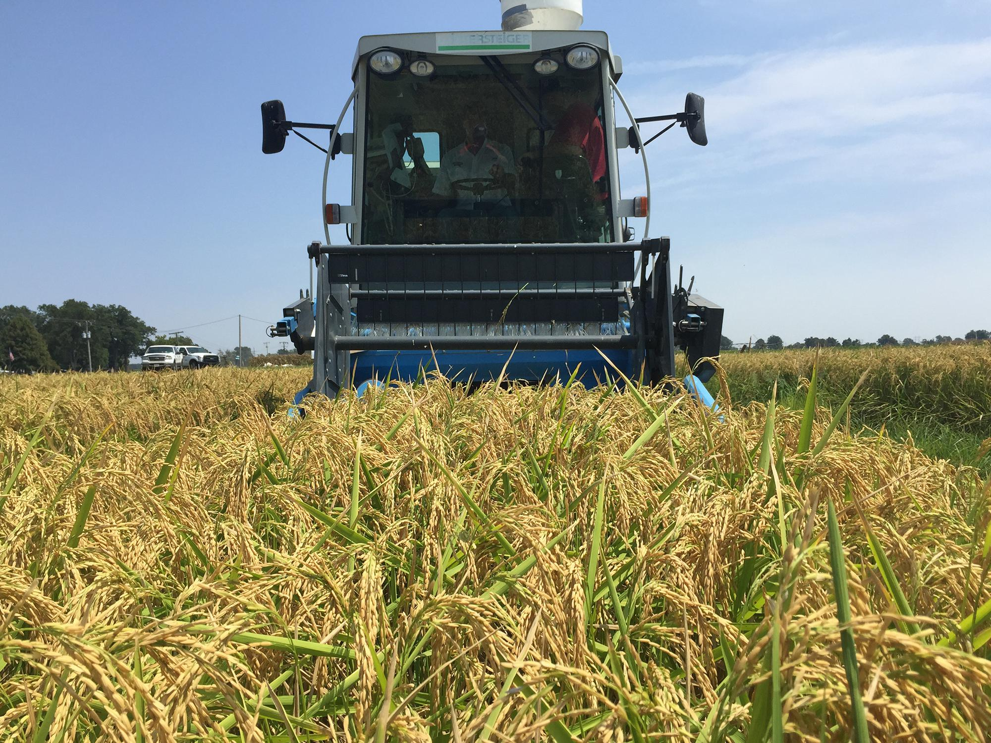 Mississippi State University field personnel begin the rice harvest on test plots at the Delta Research and Extension Center in Stoneville, Mississippi. (File photo by MSU Extension Service/Bobby Golden)