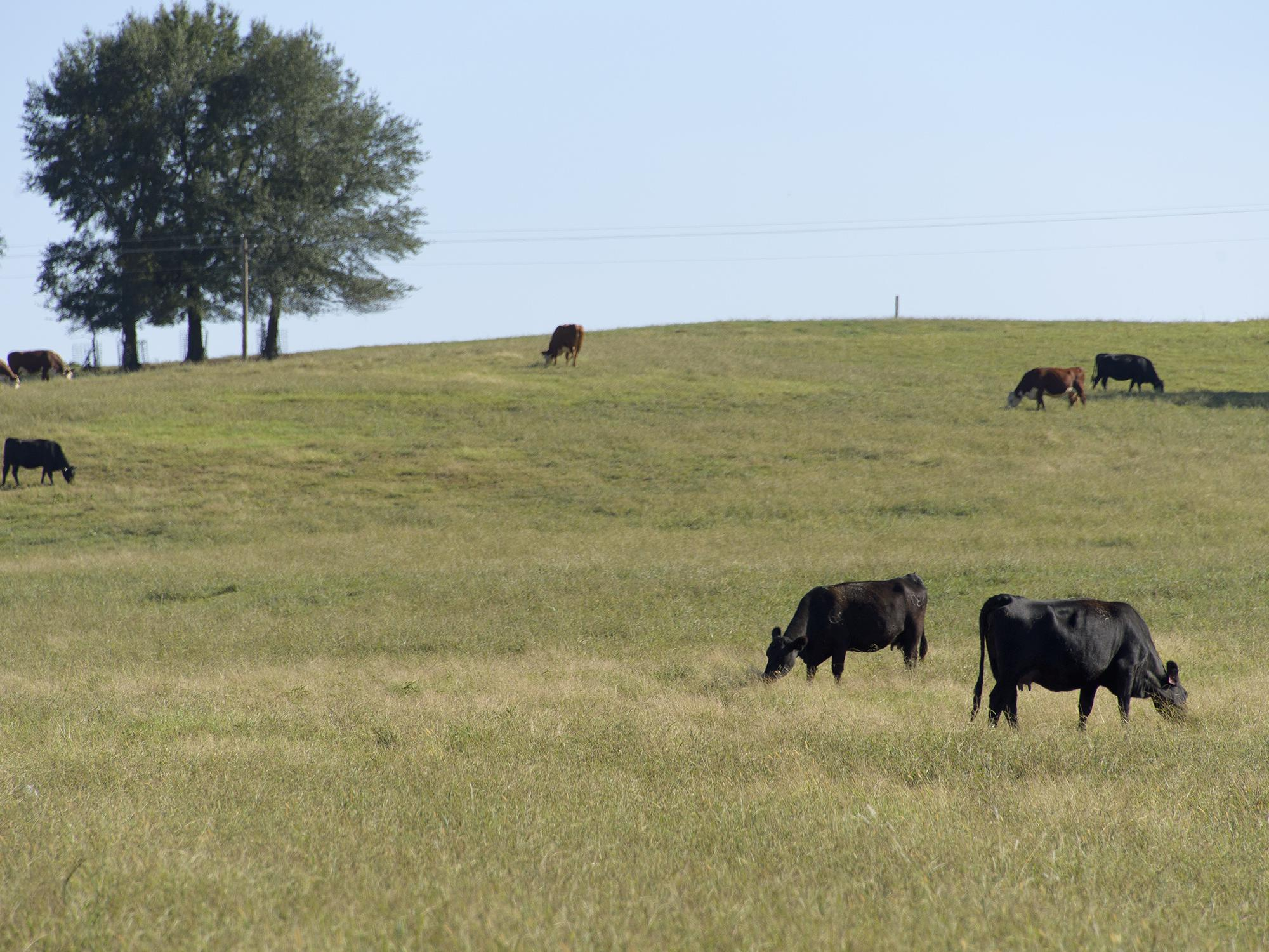 Cattle benefit from good pasture management that minimizes weed development during dry periods and helps pastures ahead of the dormant season. These beef cattle were photographed on the Mississippi State University H.H. Leveck Animal Research Center near Starkville on Sept. 29, 2016. (Photo by MSU Extension Service/Kevin Hudson)