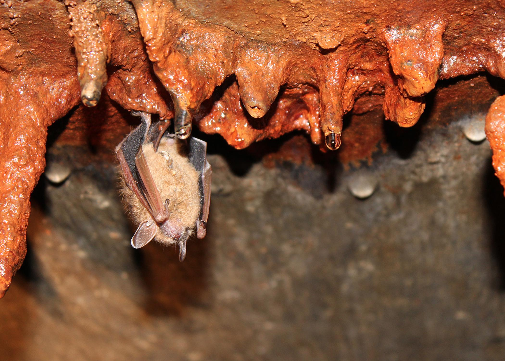 Bats eat about 50 percent of their body weight in insects every night, performing an important pest control service that benefits human health, agriculture, horticulture and forestry. (File Photo by MSU Ag Communications)