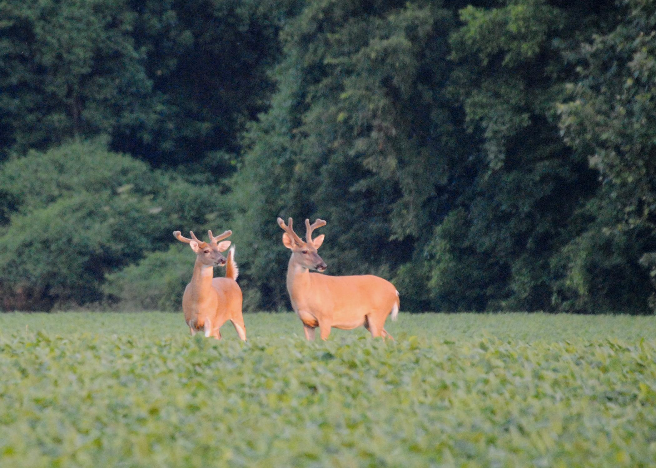Warm-season food plots planted with legumes, such as these soybeans, help white-tailed deer get the protein they need when natural vegetation is less plentiful and harder to digest. (Submitted photo)