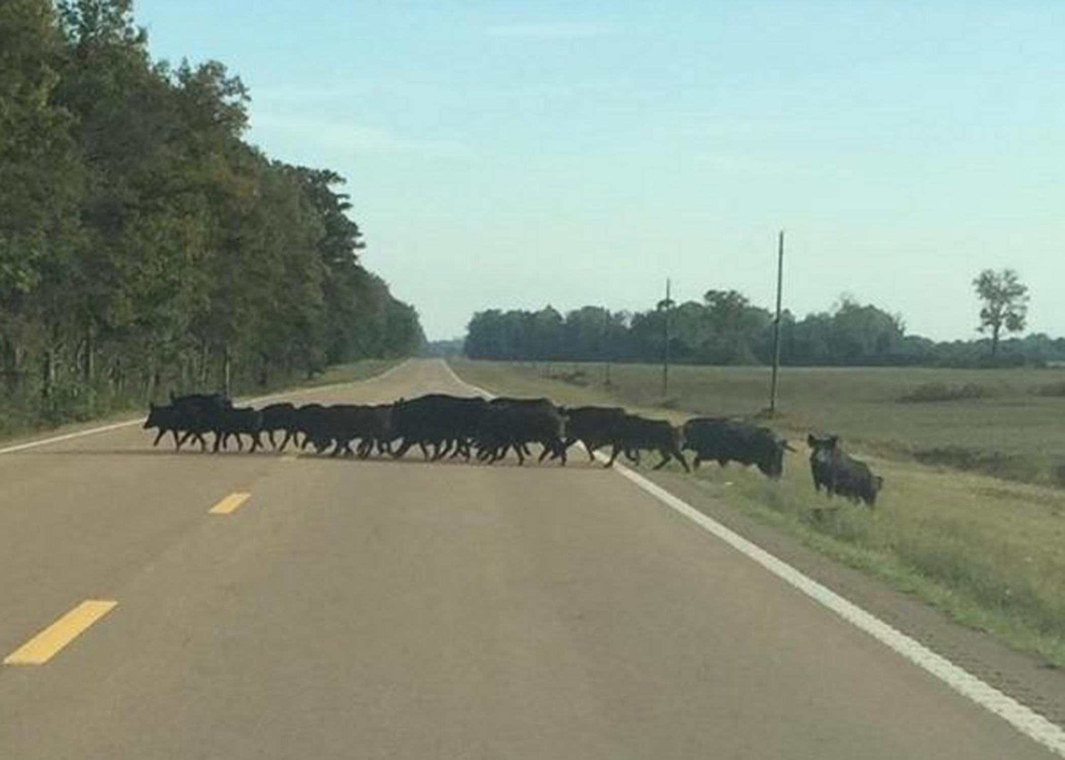 Many myths and half-truths surround the invasive wild hog population, including the notion that hogs will not cross a paved road, as they are seen doing in this photo taken in the Mississippi Delta. (Photo courtesy of Delta Wildlife)