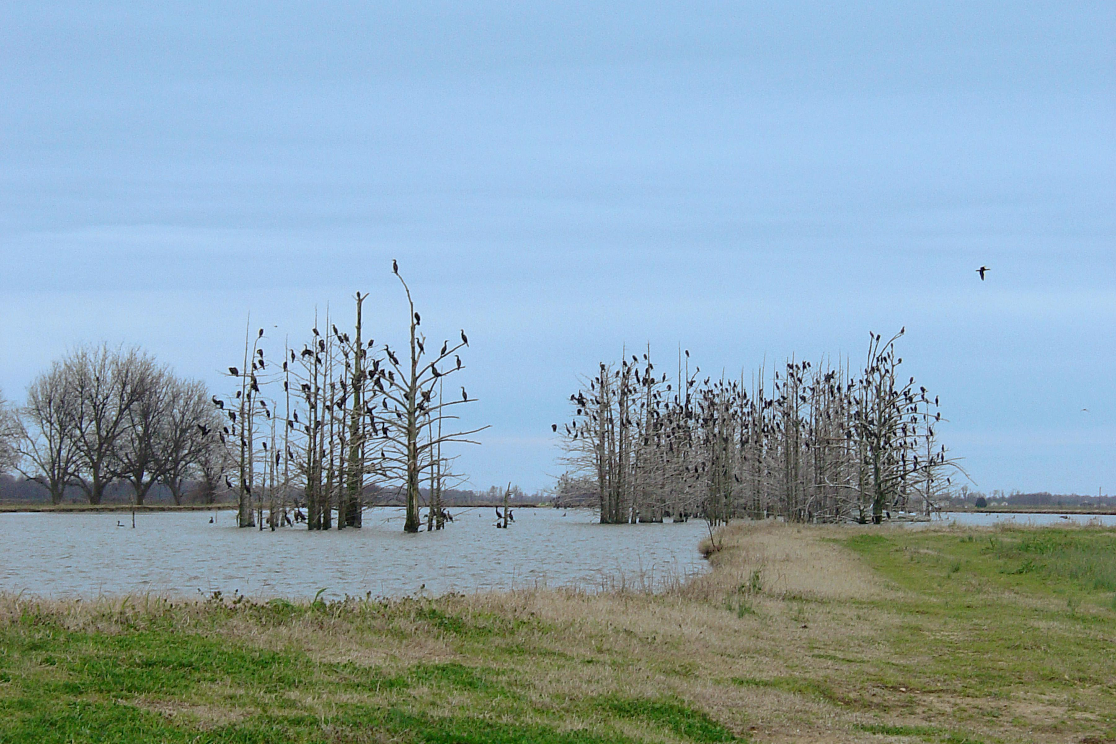 Large groups of cormorants typically roost at night in clusters of trees, such as these, and spend their days fishing in natural lakes, rivers and catfish ponds, to the dismay of Mississippi's catfish producers. (File photo by MSU Extension Service)