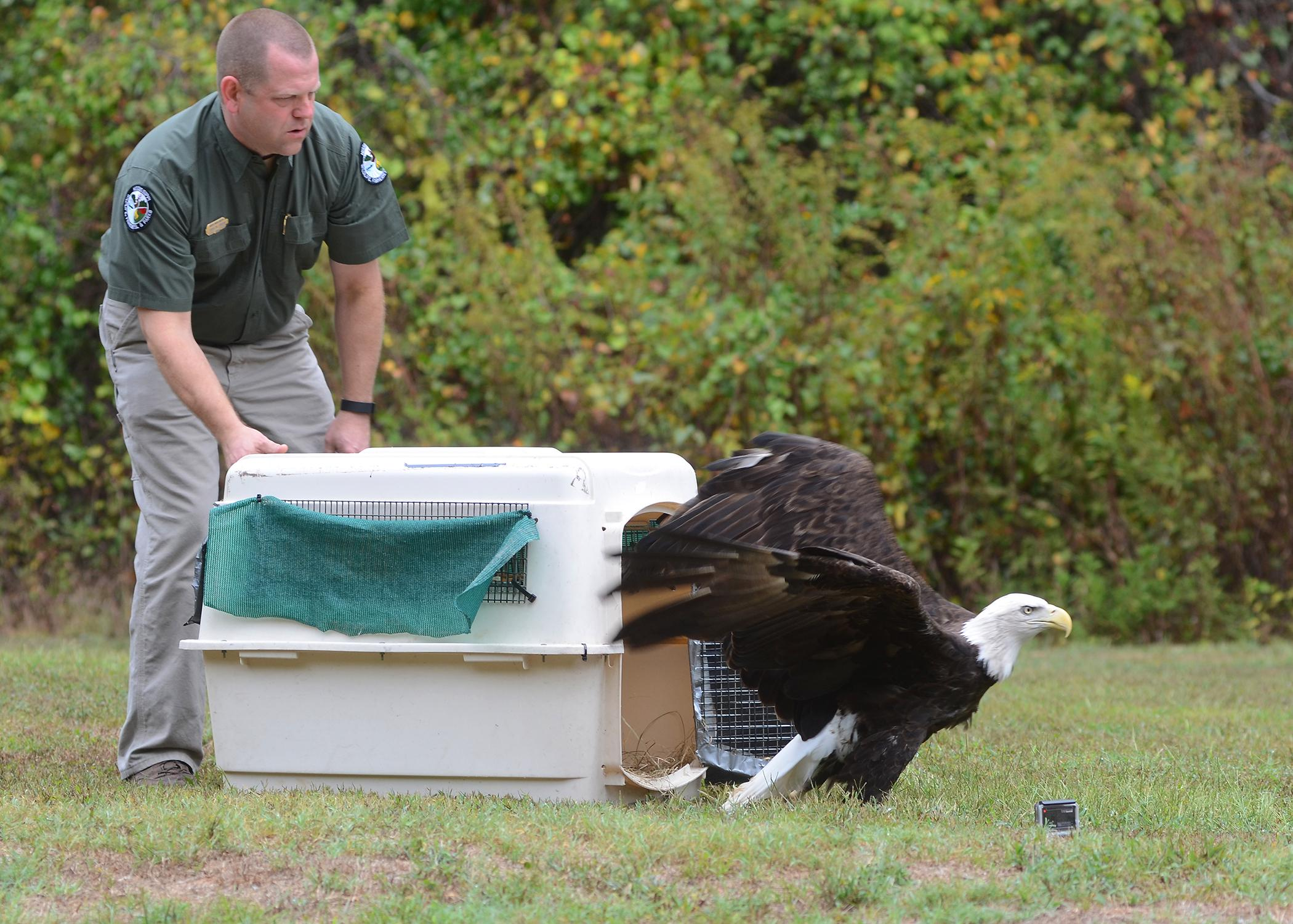 Representatives of the Mississippi Department of Wildlife, Fisheries and Parks are the best contacts when someone discovers a sick or injured wild animal. Their goal is to treat and re-release wild animals, as Chad Dacus, wildlife bureau director, is shown doing for this rehabilitated bald eagle at the Barnett Reservoir near Jackson, Mississippi. (Photo courtesy of Brian Broom)