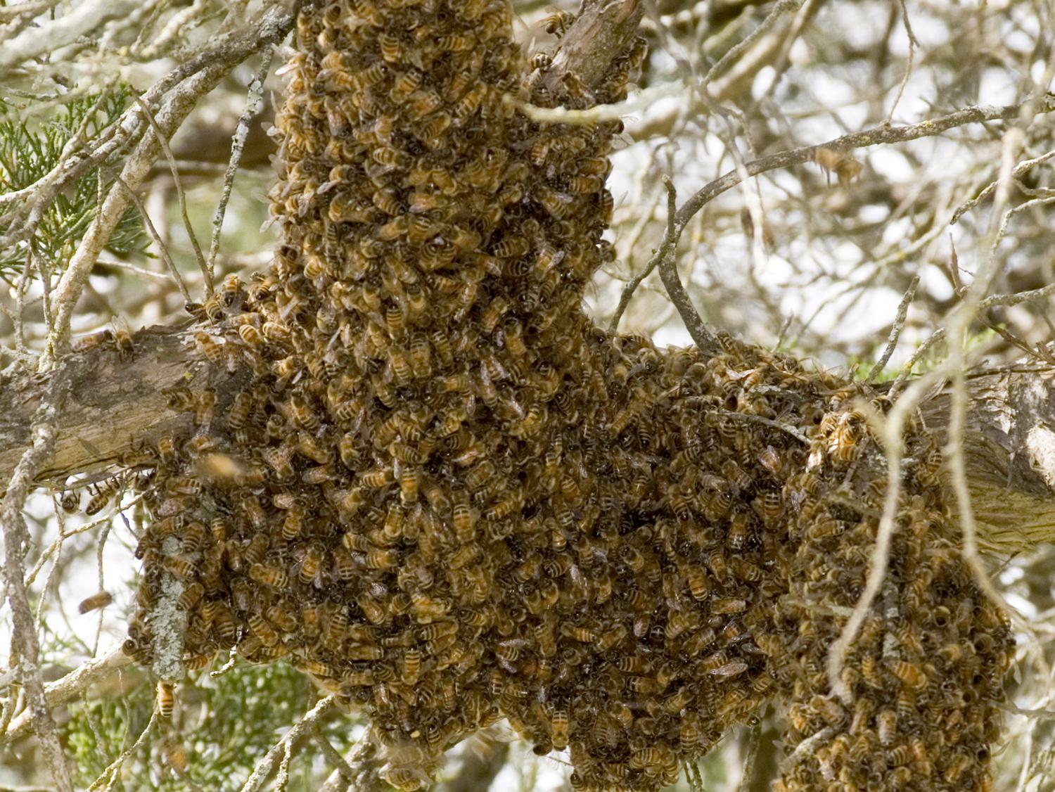 As bee swarms land on branches and other objects this spring, do not disturb them. The honeybees are seeking a new home and will usually move on within a few days. (MSU Extension Service file photo)