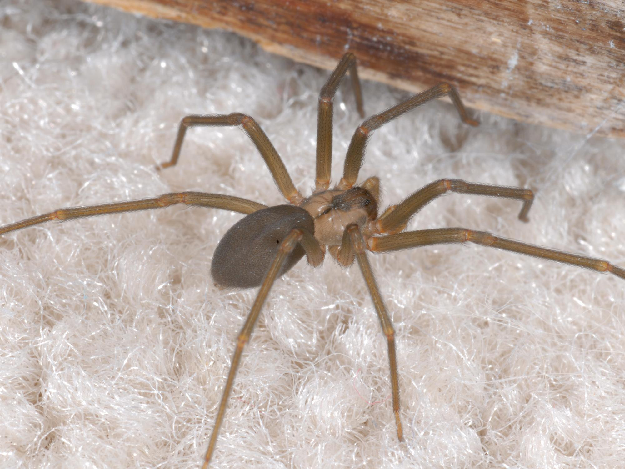The dark, fiddle-shaped pattern on the back of the brown recluse helps distinguish it from other spiders. Because of their reclusive nature, watch out for these venomous spiders in dark, neglected areas. (Photo by MSU Extension Service/Blake Layton)