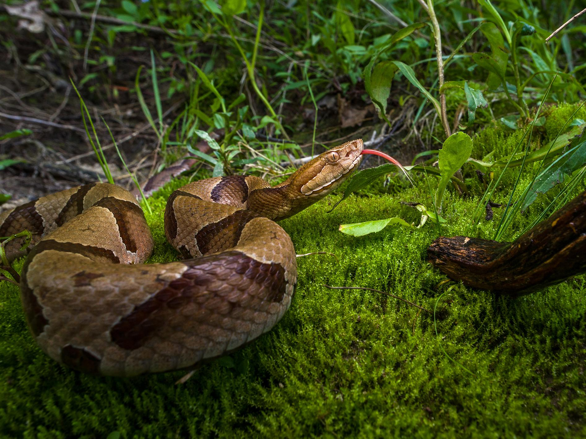 Copperheads, such as this one, are among the most common venomous snakes in Mississippi. (Photo courtesy of Robert Lewis)