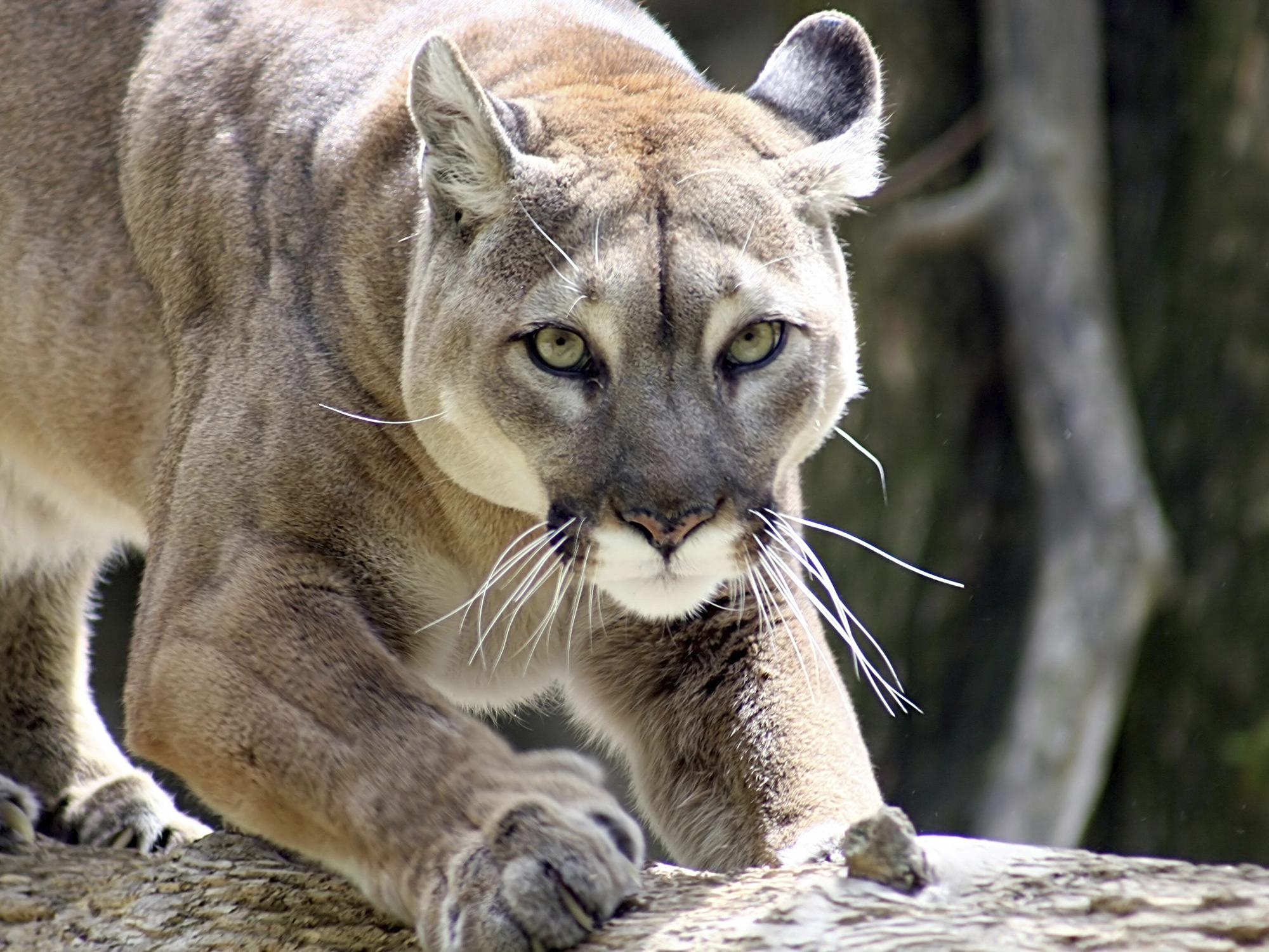 Before European settlement, mountain lions were part of the native Mississippi landscape, but changes in their habitat and overharvest by humans have resulted in no remaining wild populations of these big cats in the state. (Submitted photo)