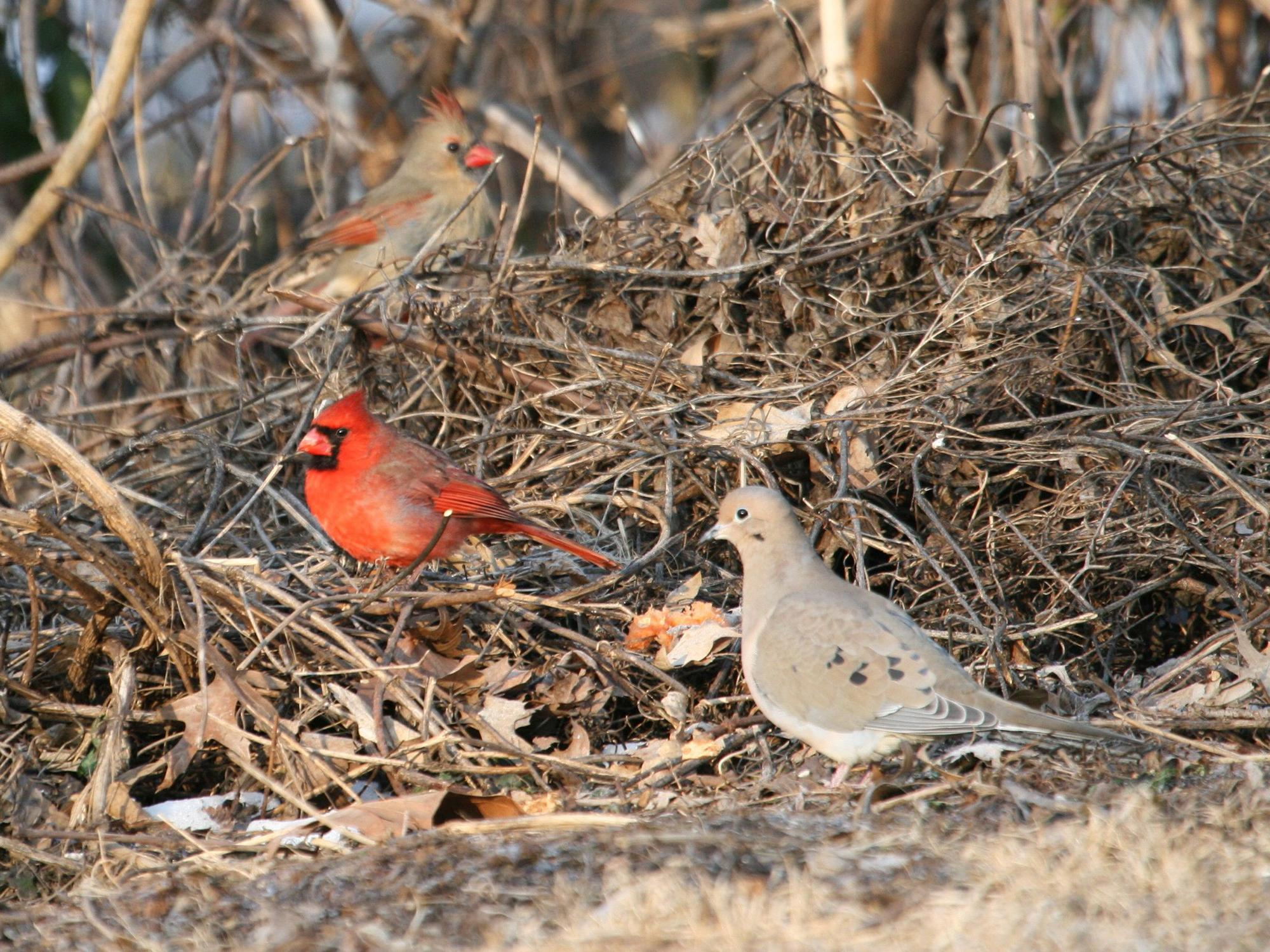 Male and female northern cardinals and a mourning dove search for food in a brush pile. (Photo by Chris Taylor, wildlovephotography.com)