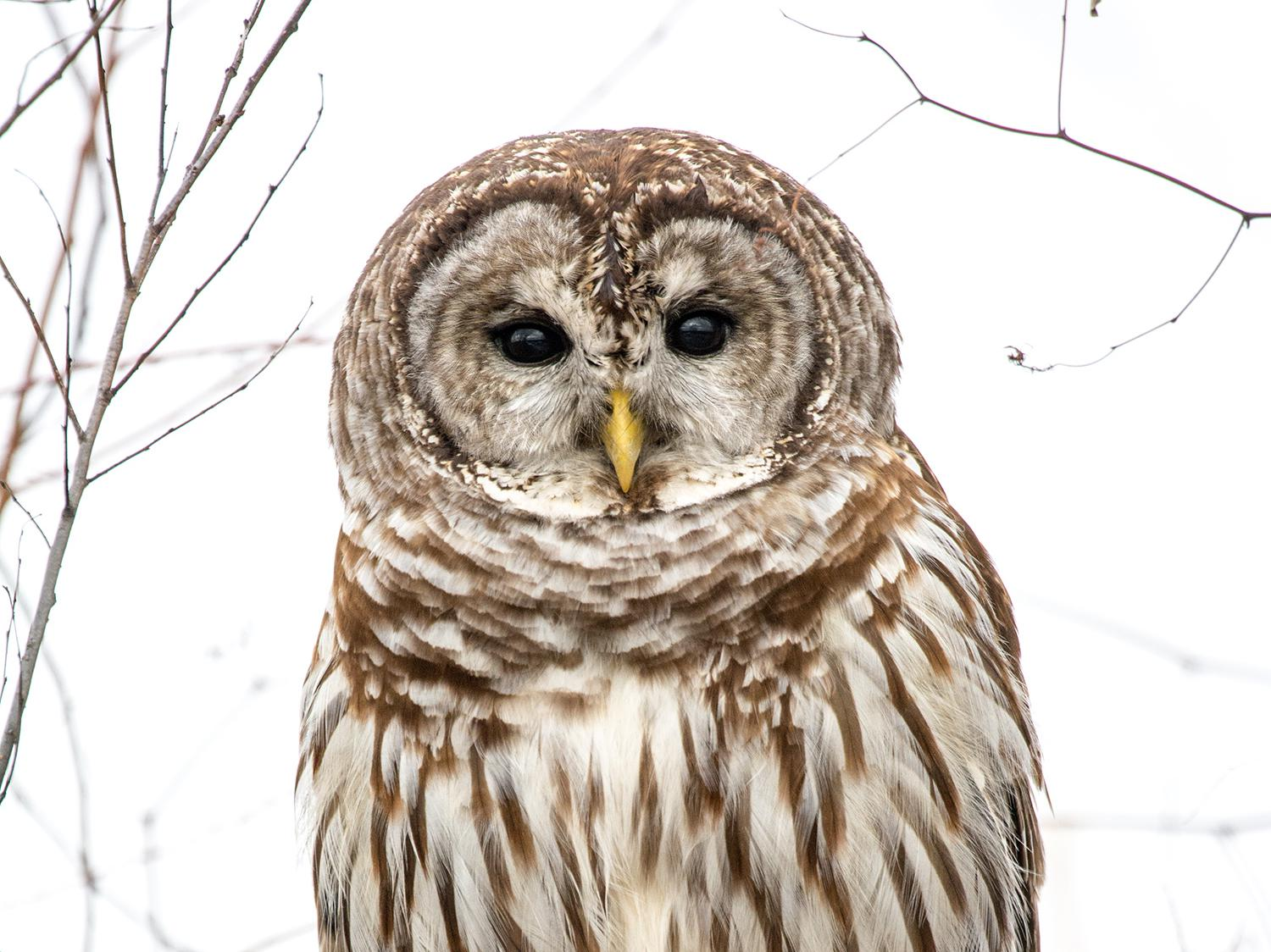 The piercing stare of the Barred Owl can catch a hunter's attention.  (Photo by Bill Stripling)