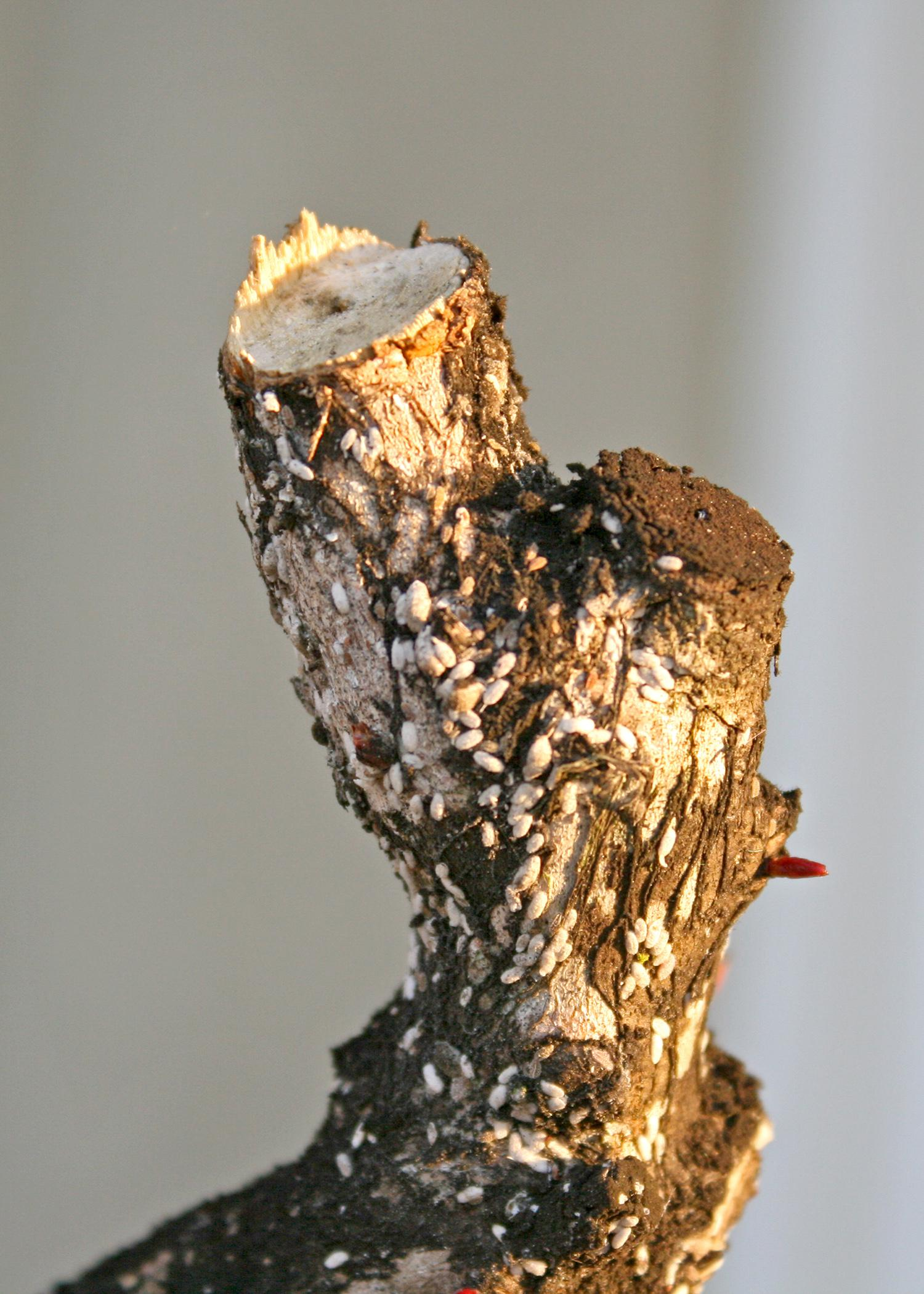 Crape myrtle bark scale were found in Mississippi in March. This invasive insect, photographed in Ocean Springs, Mississippi, on March 15, 2015, attacks beautiful and normally low-maintenance crape myrtles. (Photo by MSU Extension Service/Gary Bachman)