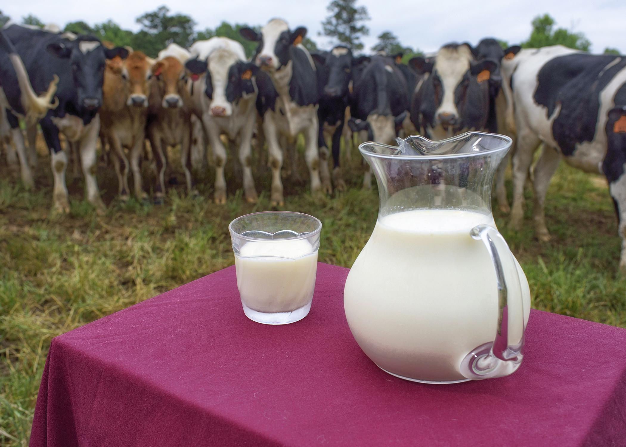 Milk, such as this pictured with the Mississippi State University award-winning dairy herd, is rich in vitamin D and calcium. (Photo by Kevin Hudson/MSU Ag Communications)