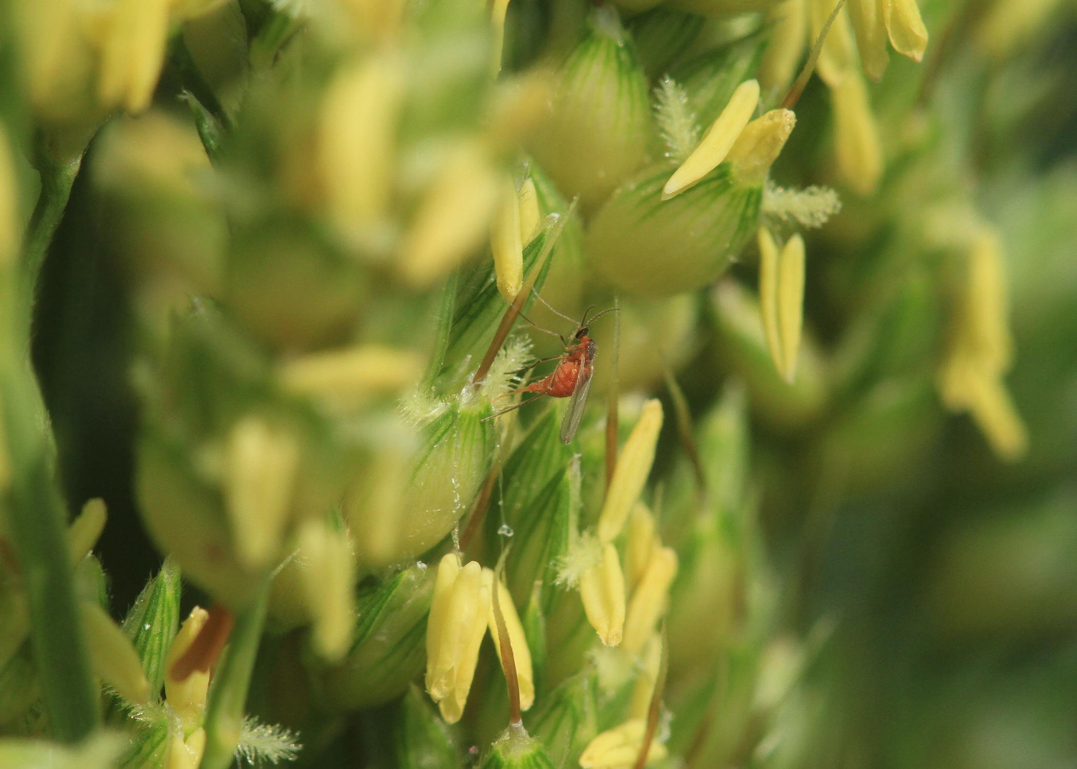 This year, producers planted about 90,000 acres of grain sorghum throughout the state. Early plantings have been affected more than usual by the sorghum midge, an insect that feeds on plants while they are in bloom. (Submitted photo)