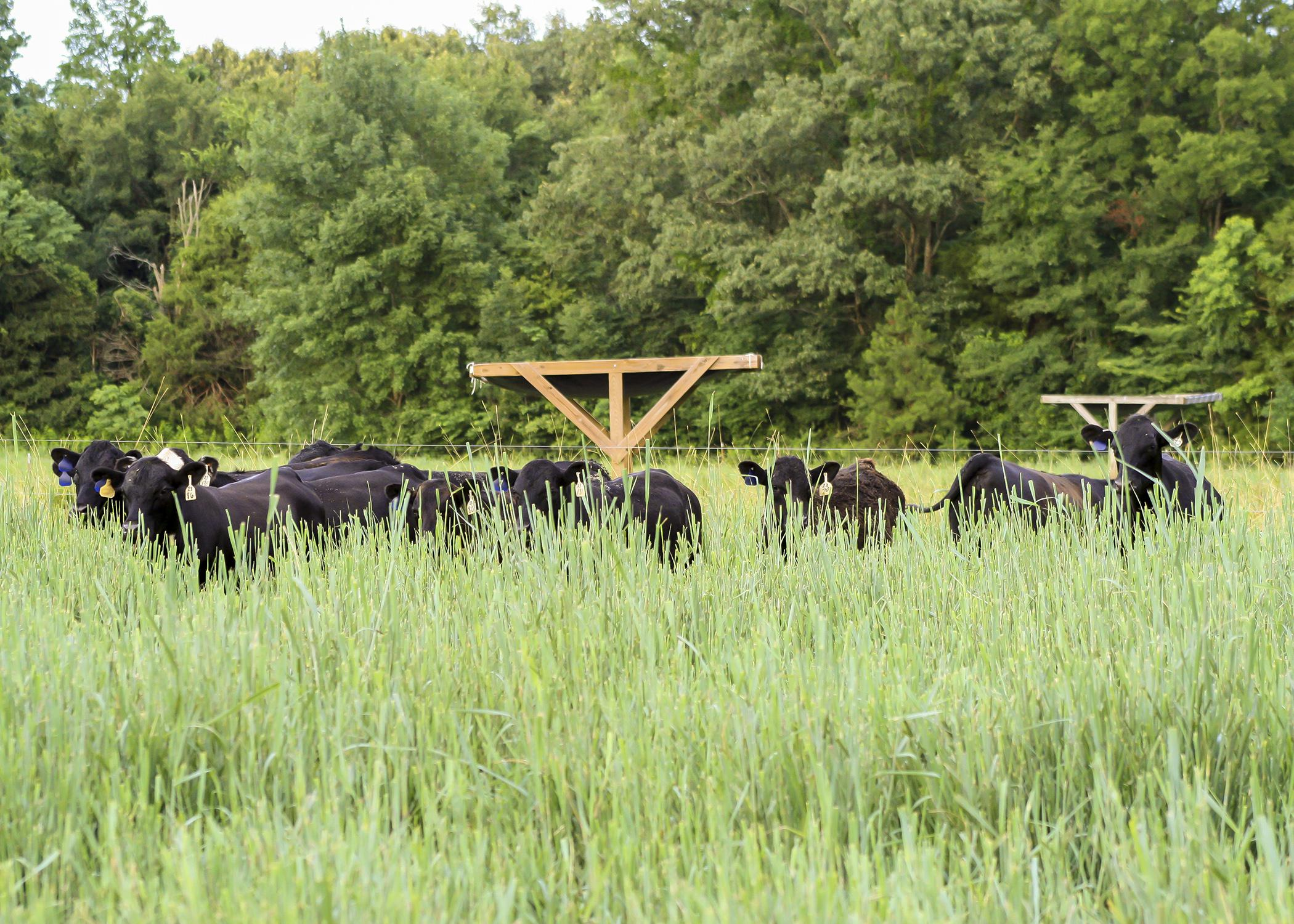 A Mississippi Agricultural and Forestry Experiment Station study of beef from cattle that forage on warm-season, native grasses indicates a positive reception by consumers. These grasses are beneficial to wildlife, especially ground-nesting birds. (Submitted photo)