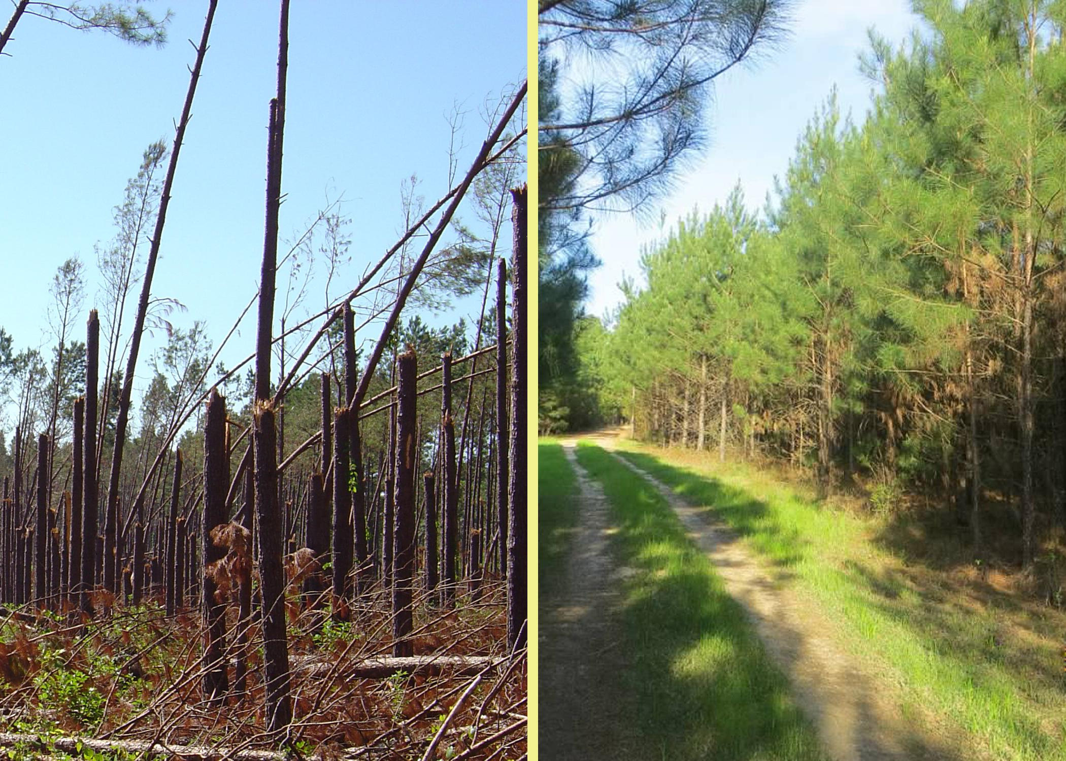 Tree farmer Cecil Chambliss thought Hurricane Katrina put him out of business, but 10 years later, he has changed his management practices and improved production on his Forrest County farm by replanting with longleaf and slash pine, which are more resistant to high winds than loblolly pine. (Submitted photo)
