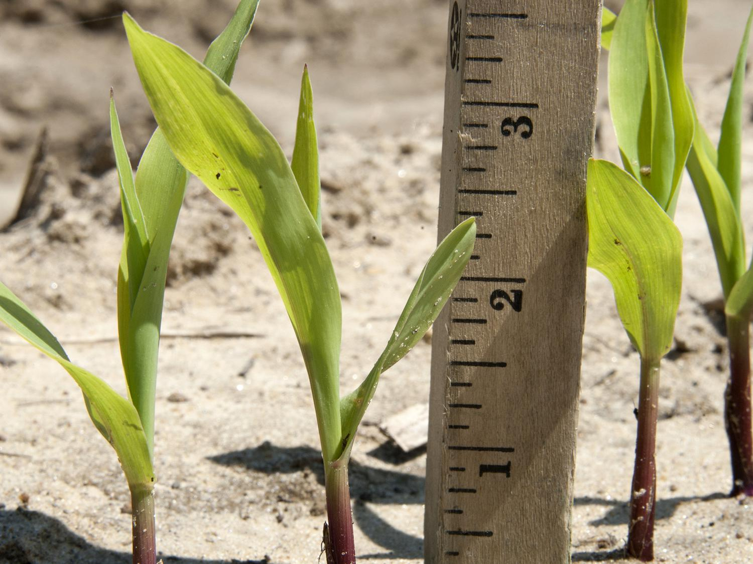 Frequent rains pushed both corn planting and corn emergence behind schedule in Mississippi. This corn was photographed April 21, 2015, in Starkville at Mississippi State University. (Photo by MSU Ag Communications/Kat Lawrence)