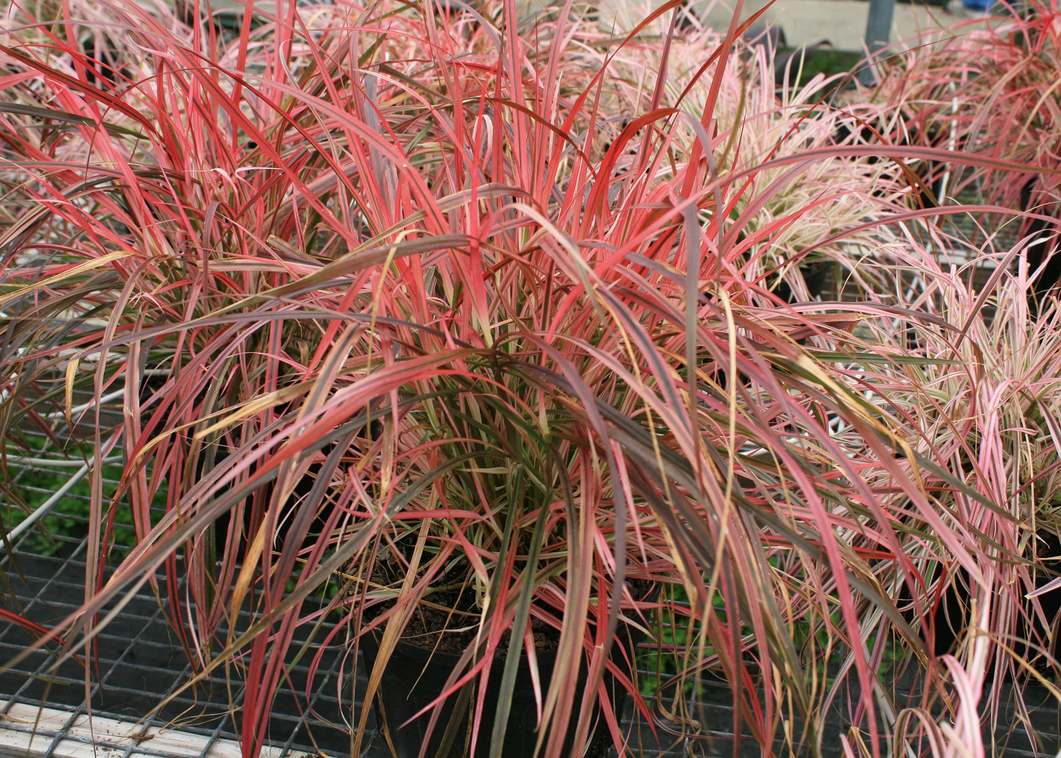 Pennisetum, such as this Fireworks variety, is an ornamental grass with a lot of pizazz. It is an annual everywhere except right along the coast. (Photo by MSU Extension/Gary Bachman)