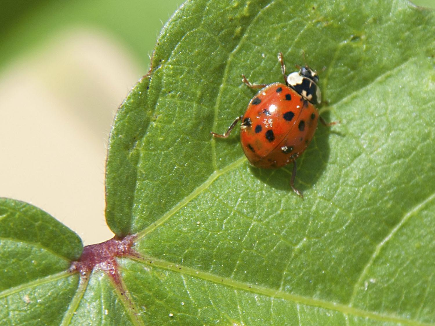 As spring approaches, Asian lady beetles that have hibernated in houses and other structures during the winter are trying to go back outside. Homeowners who have had problems with the bugs can take several steps to prevent future invasions. (File photo, MSU Extension Service)