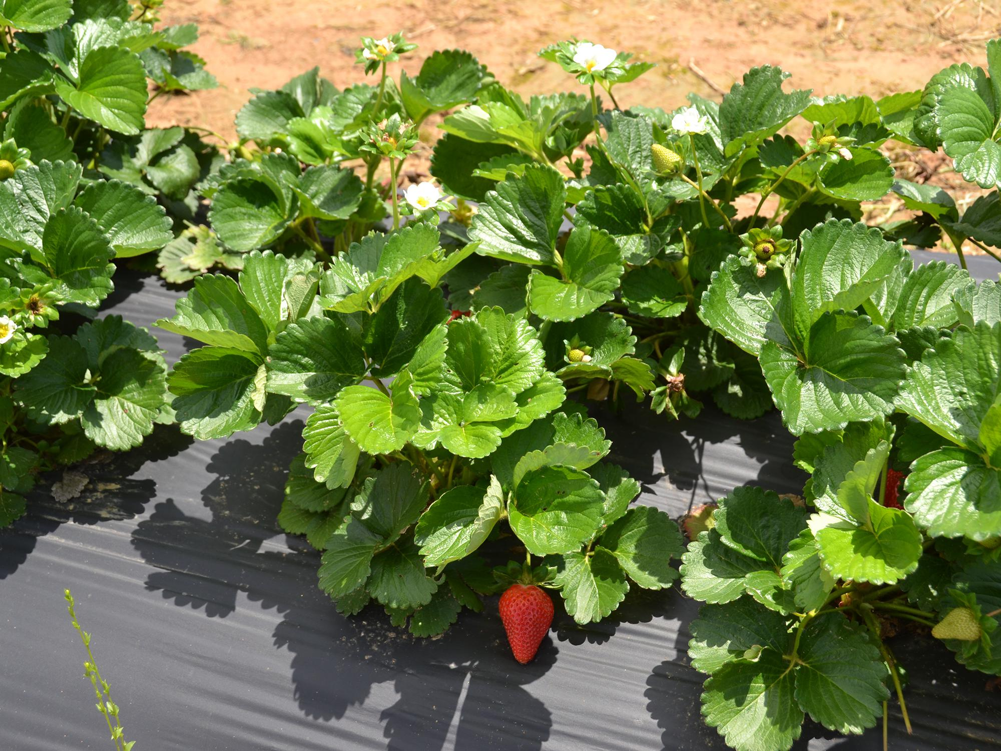 These Merced variety strawberries growing at the Mississippi State University Truck Crops Branch Experiment Station in Crystal Springs looked good on April 21, 2016, despite rainy spring weather that has increased disease pressure on most of Mississippi's crop. Researchers at the station are conducting a strawberry variety trial to help Mississippi producers choose the best performing varieties for the state. (Photo by MSU Extension Service/Susan Collins-Smith)