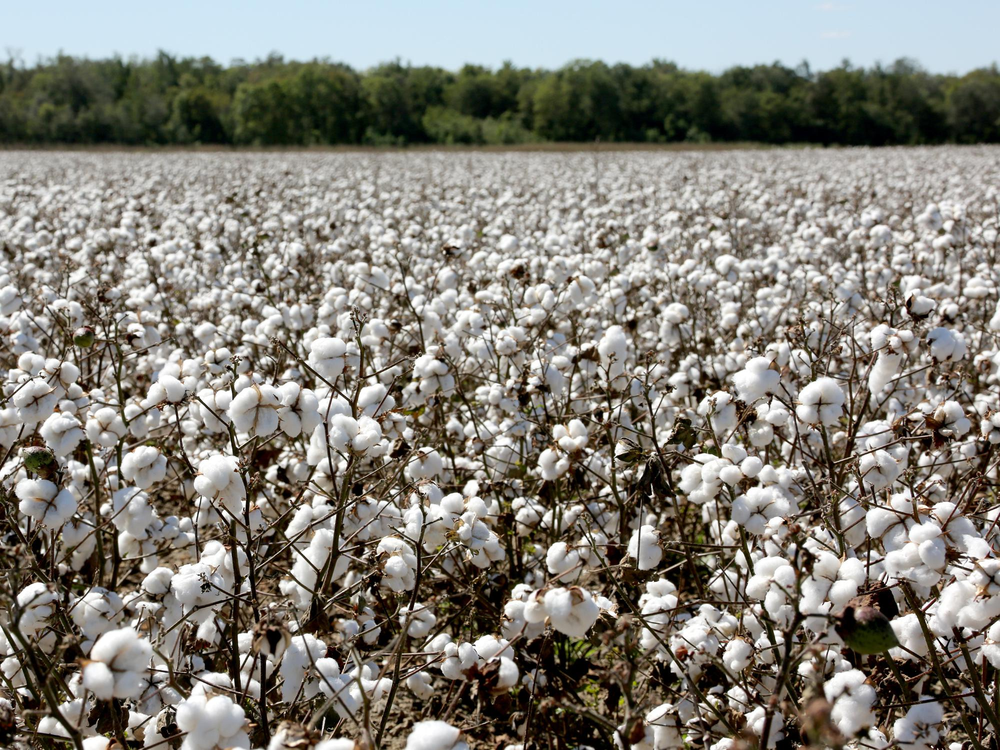 Mississippi cotton farmers are more than halfway through harvesting what is expected to be the fourth straight year the state has averaged more than 1,000 pounds of cotton per acre. This Coahoma County cotton was waiting for harvest Sept. 29, 2016. (Photo by MSU Extension Service/Kat Lawrence)