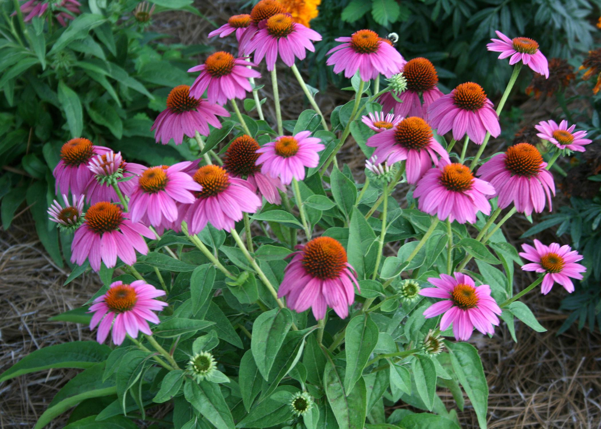 Pow Wow Wild Berry coneflower grows to about 20 inches tall and produces continuous blooms. (Photo by MSU Extension Service/Gary Bachman)