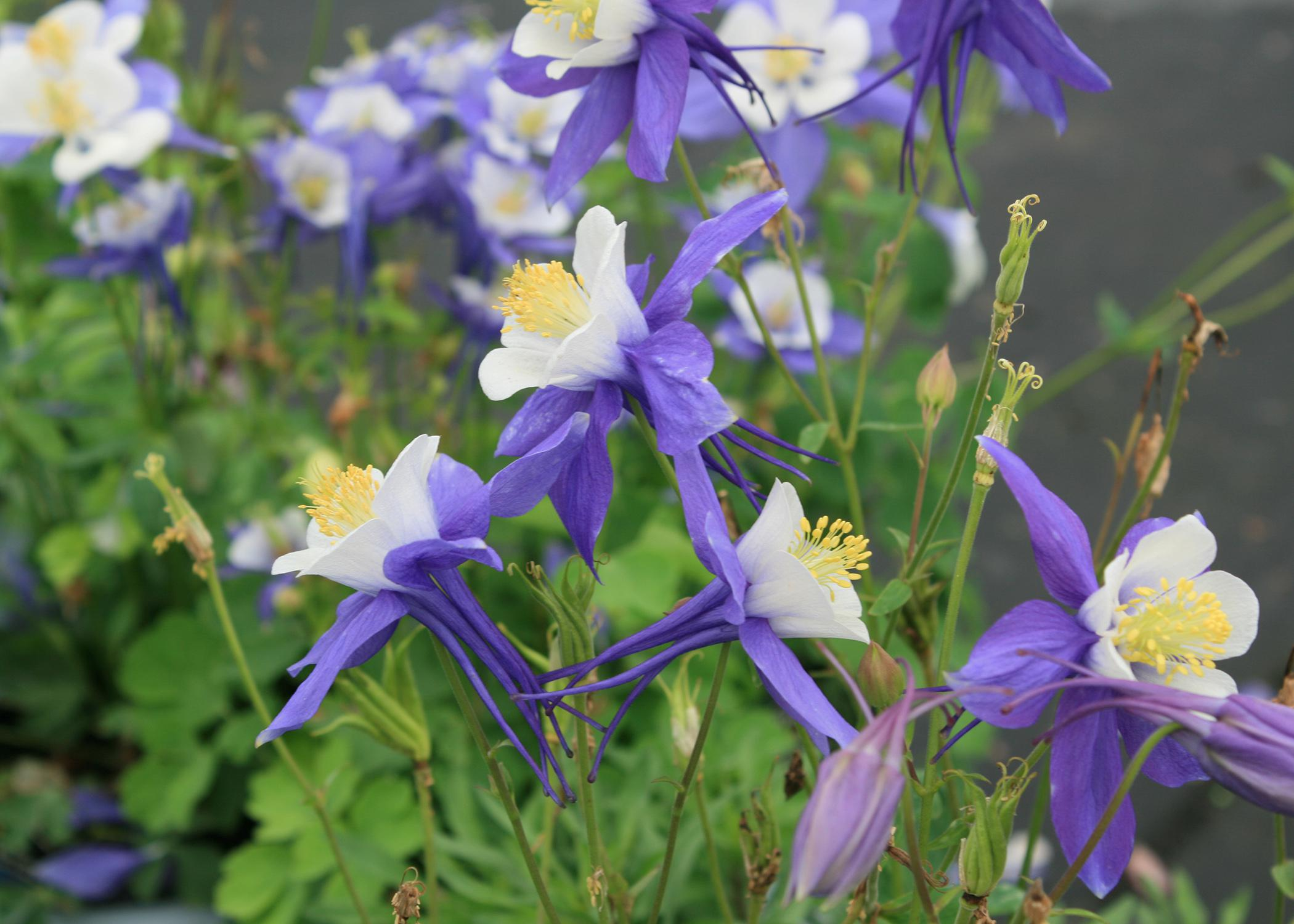 Columbines, such as this Aquilegia Swan blue and white, can thrive in Mississippi landscapes when treated as an annual. (Photo by MSU Extension Service/Gary Bachman)
