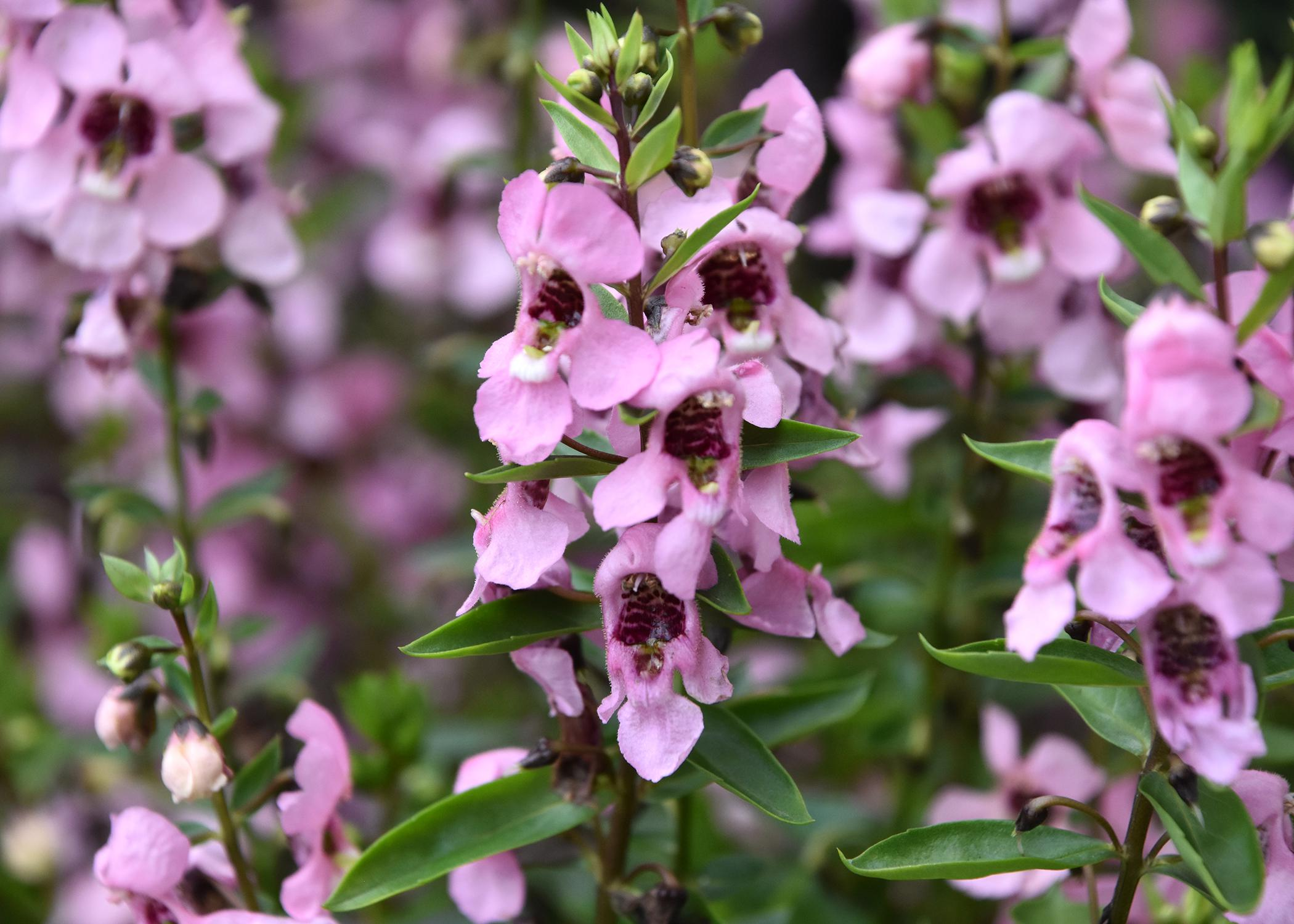 The Angelonia Serenita series has compact plants with vibrant colors, such as this Serenita Pink that was named an All-America Selection Winner in 2014. (Photo by MSU Extension Service/Gary Bachman)