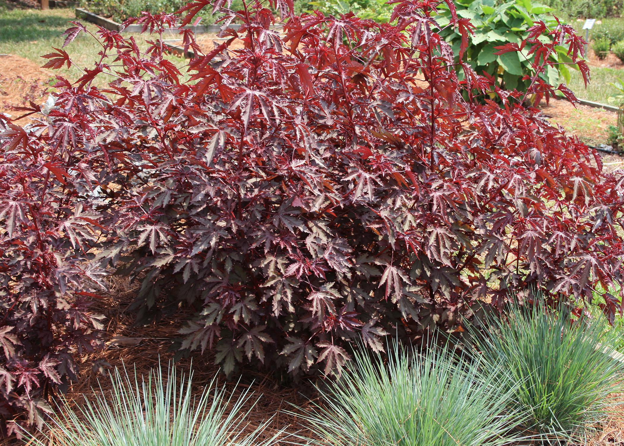 Mahogany Splendor hibiscus looks a lot like a Japanese maple. Leaves are either a dramatic, dark purplish-burgundy or a rusty, intense green, depending on sun and shade. (Photo by MSU Extension Service/Gary Bachman)