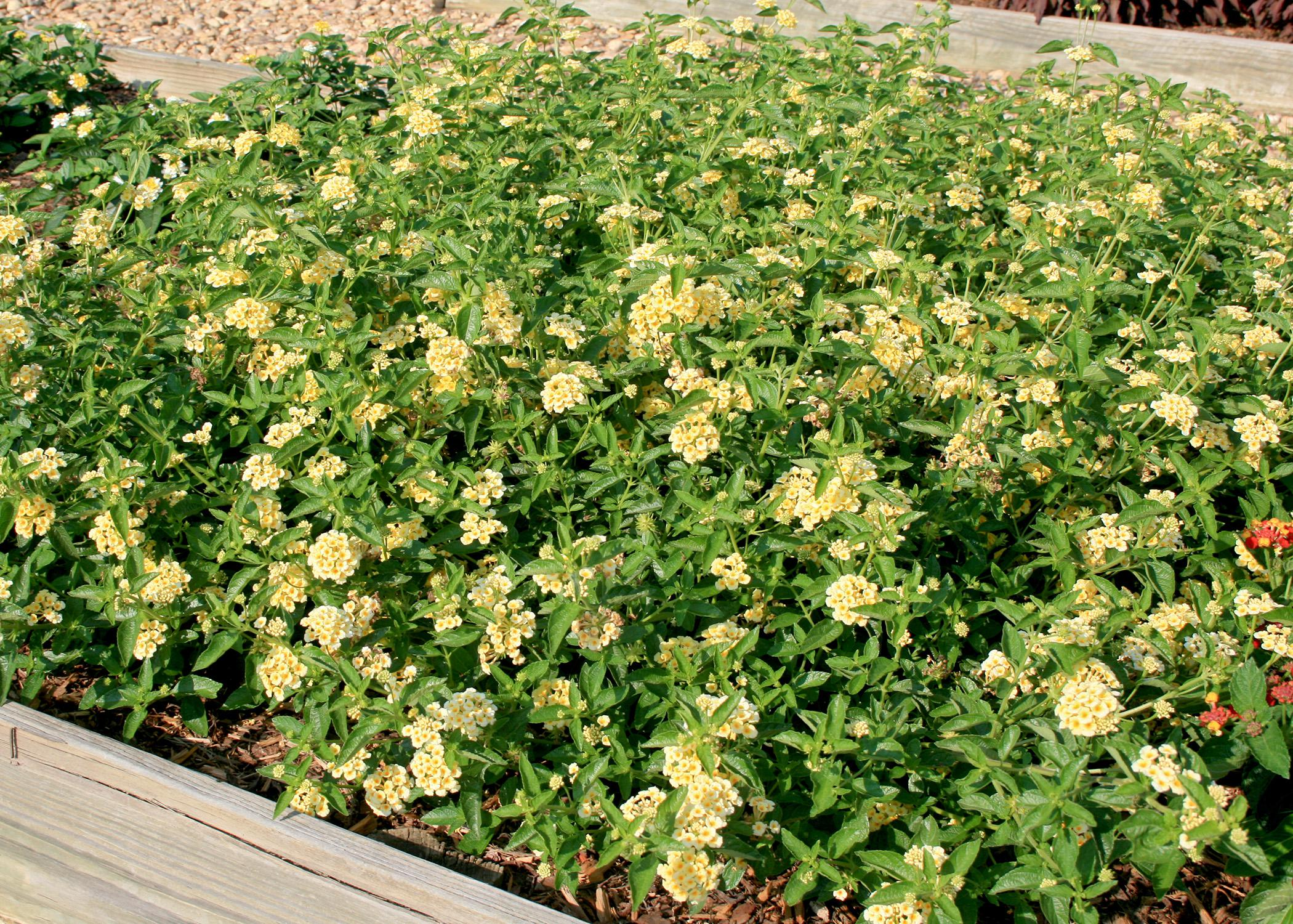 Luscious lantanas, such as this Lemonade selection, are excellent groundcover choices. (Photo by MSU Extension Service/Gary Bachman)