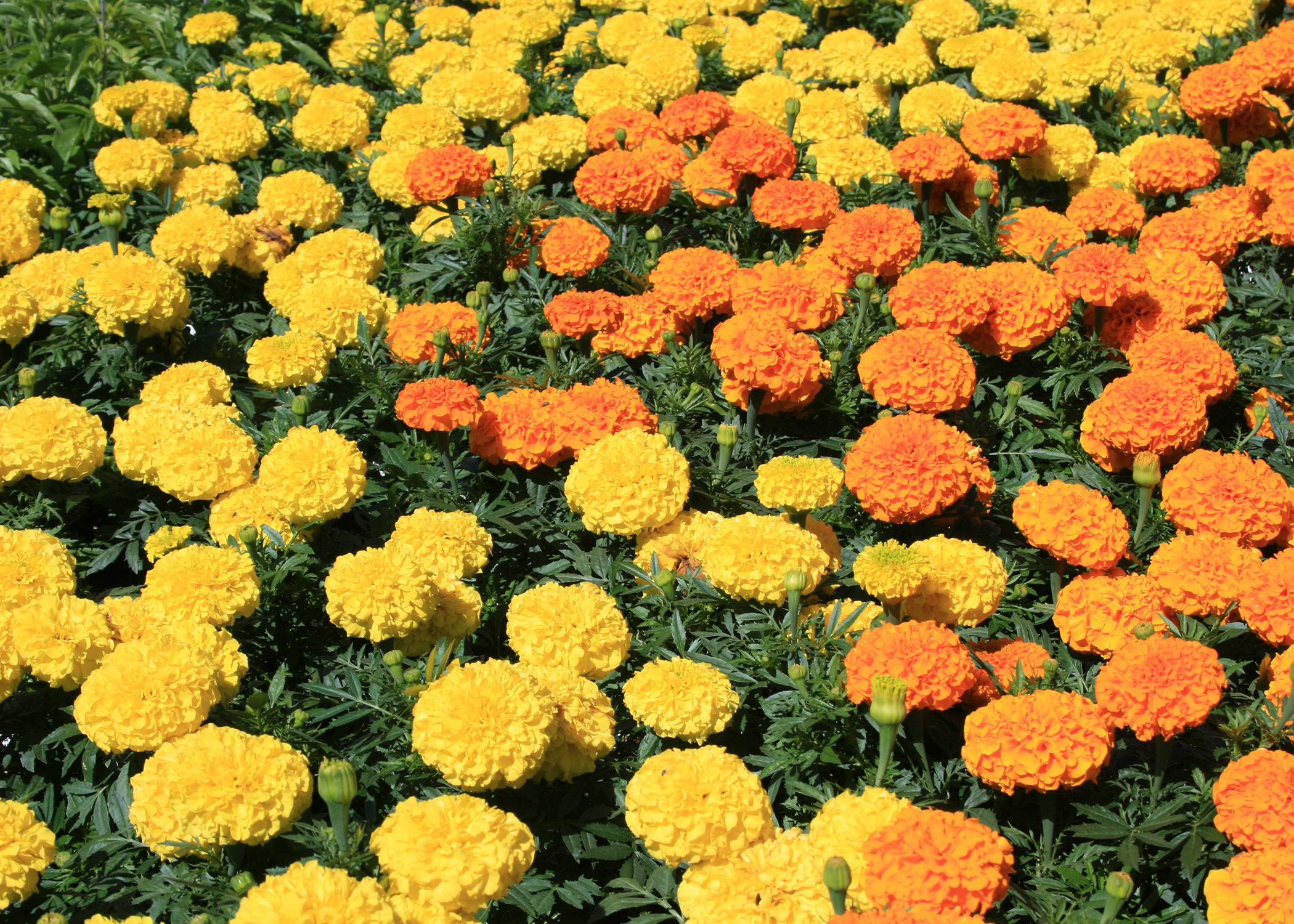 Fall is an ideal time to plant marigolds. Varieties such as these Antiqua Orange and Yellow marigolds will bloom from now until first frost. (Photo by MSU Extension Service/Gary Bachman)